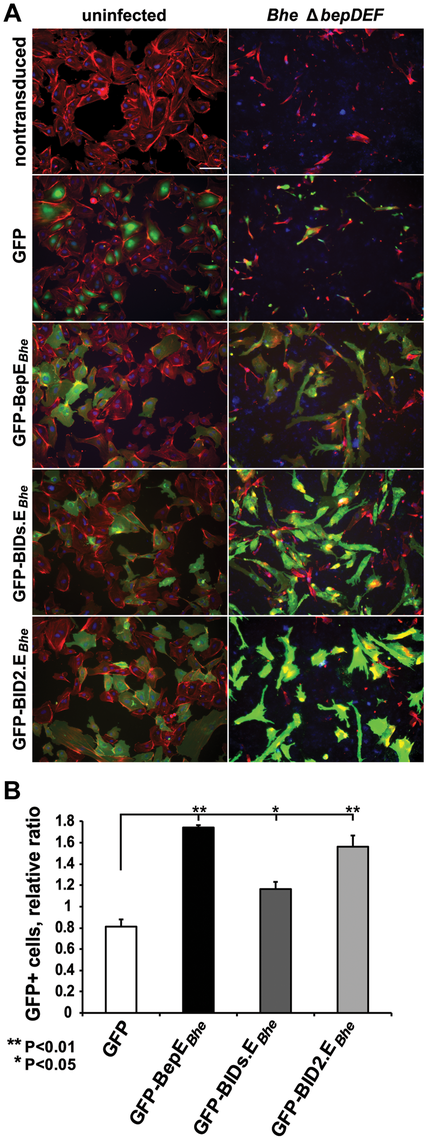 Ectopic expression of BepE<i><sub>Bhe</sub></i> in HUVECs prevents cell fragmentation.