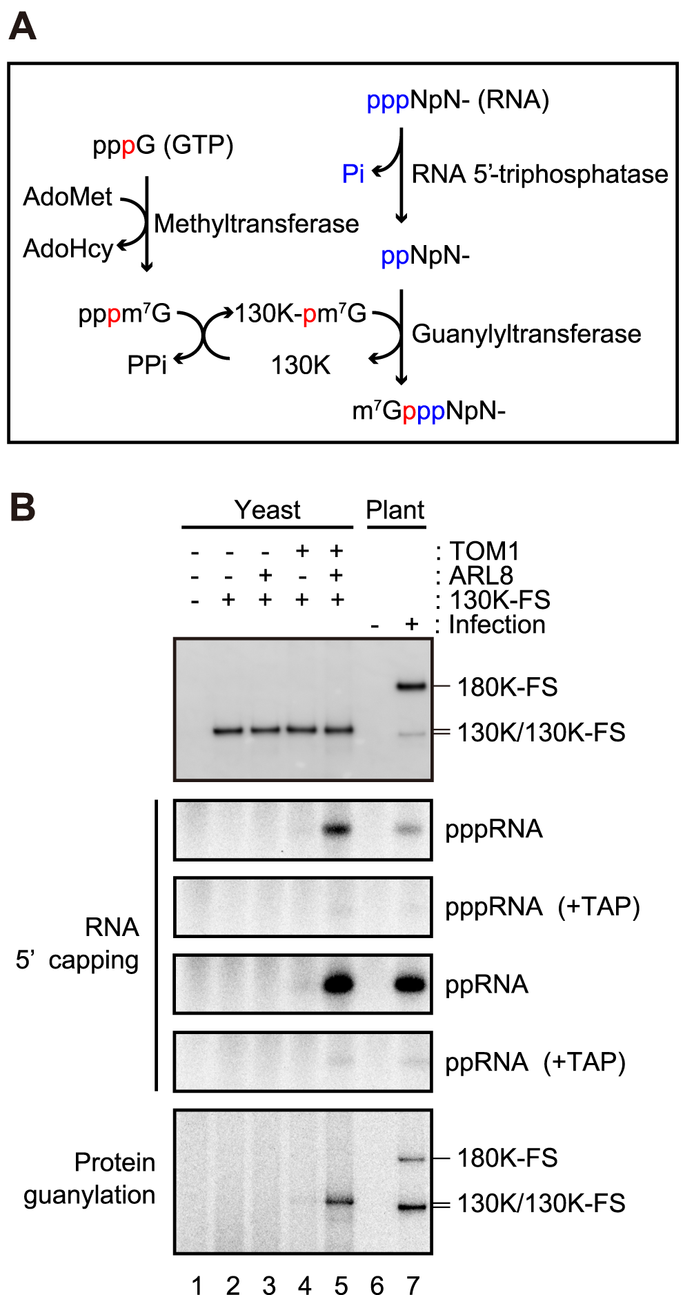 Effects of TOM1 and ARL8 coexpression on RNA 5′ capping functions of ToMV 130K protein.