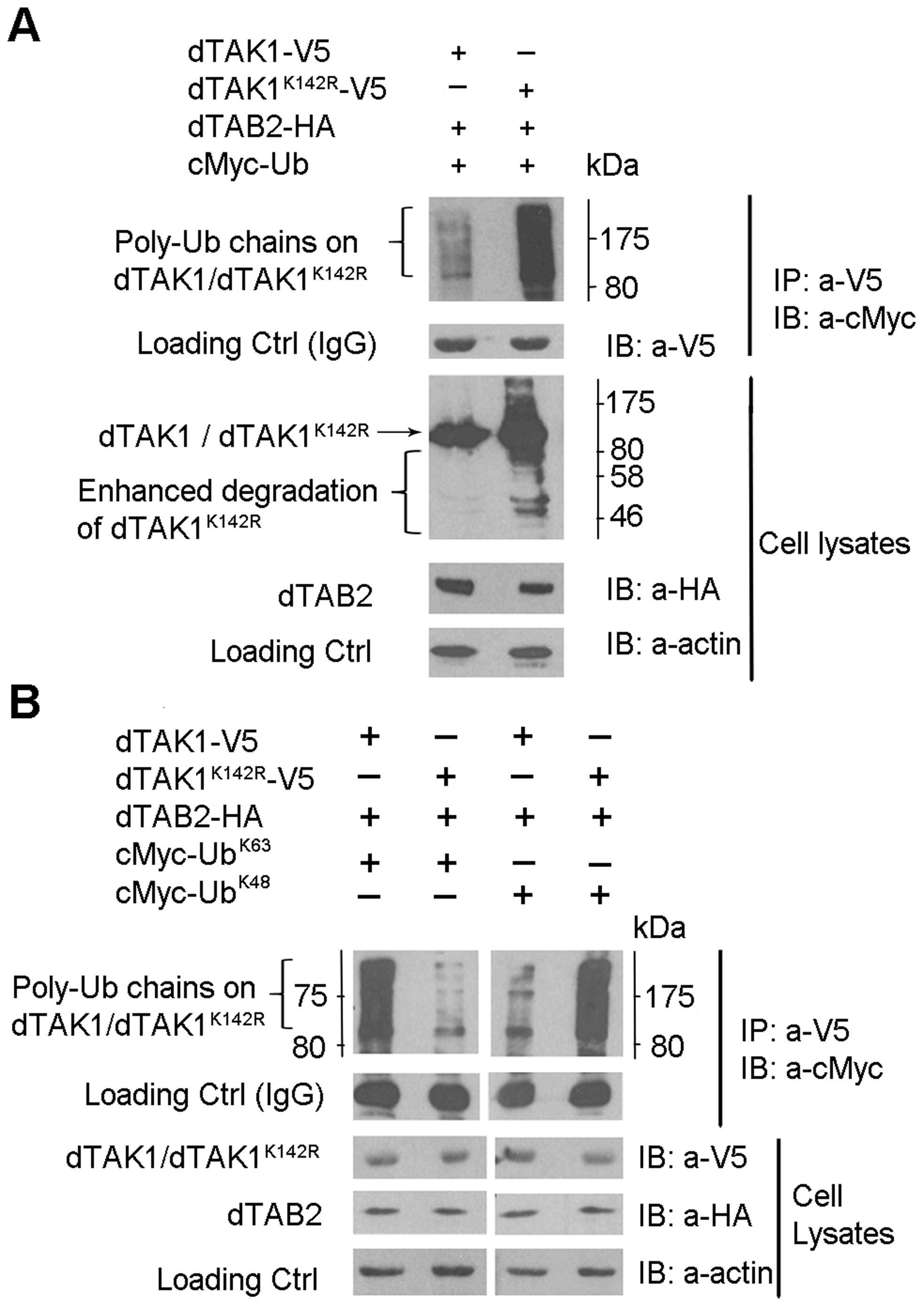 Ubiquitination profile is altered in the dTAK1<sup>K142R</sup> mutant.