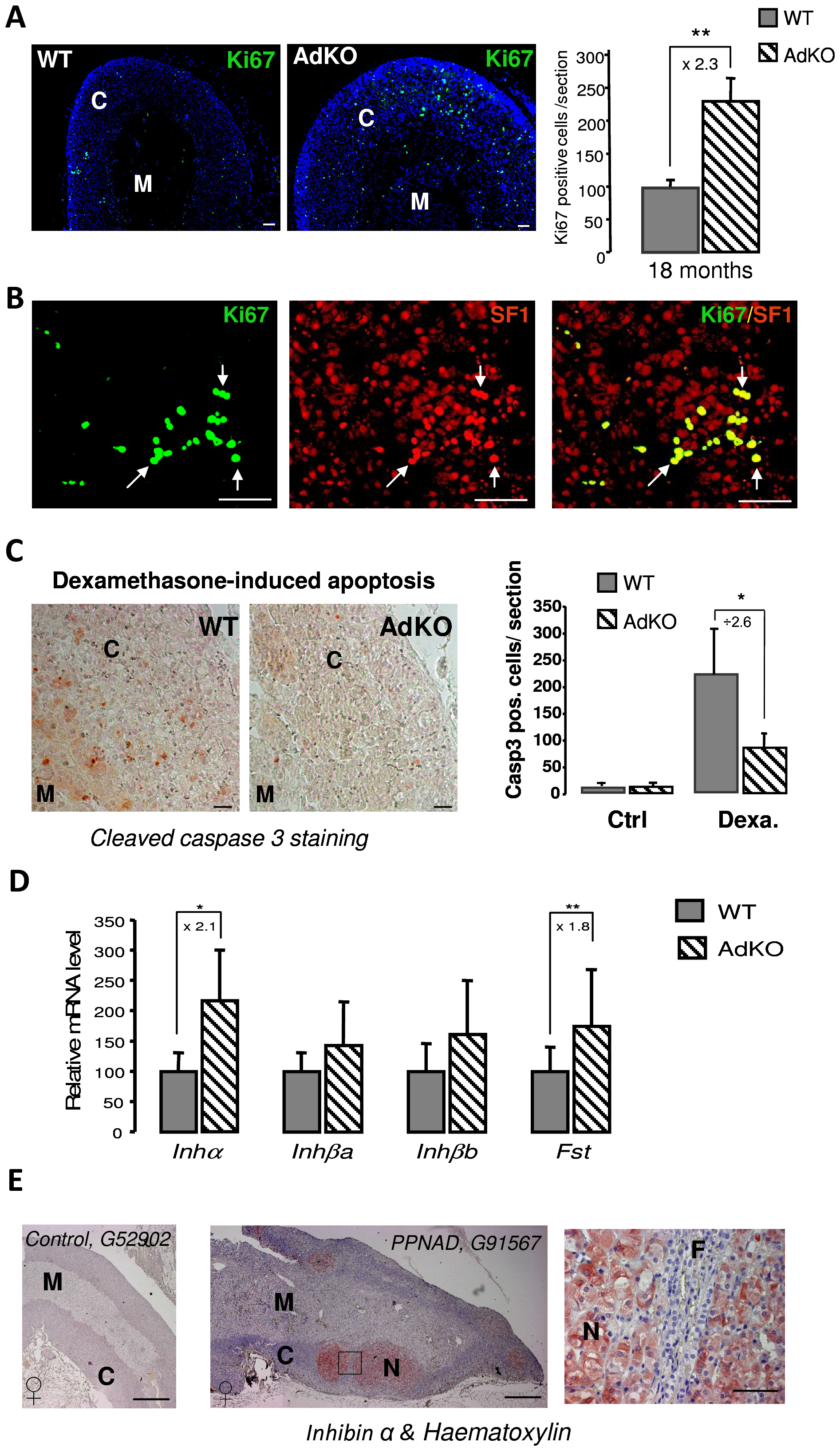 Proliferation and resistance to apoptosis in AdKO adrenals, inhibin-activin system in AdKO adrenals, and PPNAD.
