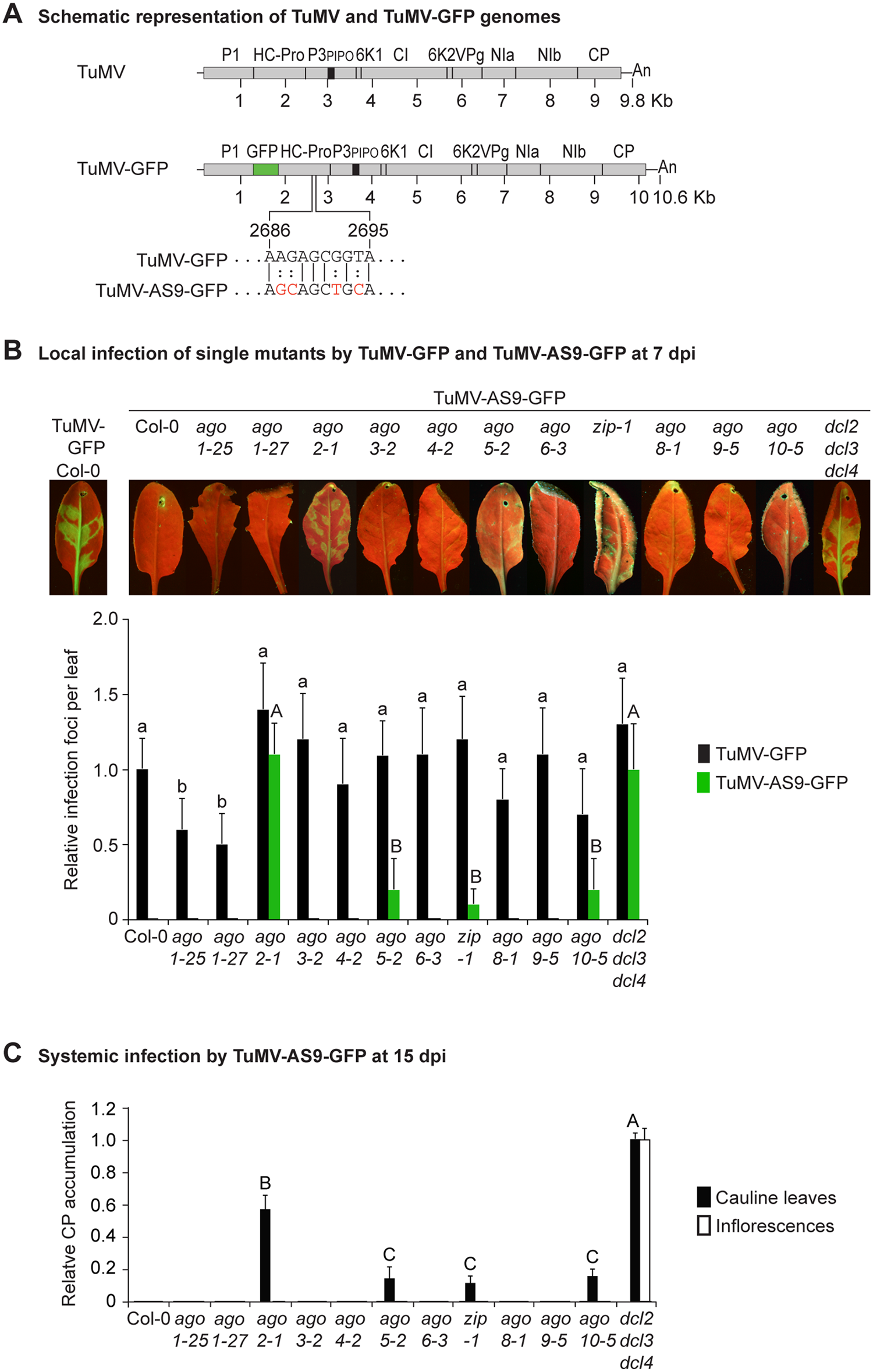 Local and systemic infection of <i>A</i>. <i>thaliana</i> single <i>ago</i> mutants by TuMV-GFP and TuMV-AS9-GFP.