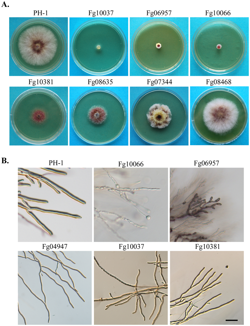 Representative PK mutants with defects in colony morphology and hyphal growth.