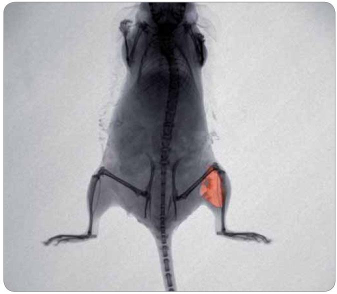 Myš s injekčně aplikovaným cytostatikem doxorubicinem o koncentraci 2 mg/ml do levého stehenního svalu (2 mm pod povrch). Fotografie byla pořízena při excitaci 480 nm a emisi 600 nm, teplota 37 ºC, myš udržována po celou dobu v anestezii. Analýza byla provedena přístrojem In Vivo Xtreme (Care stream, USA).
