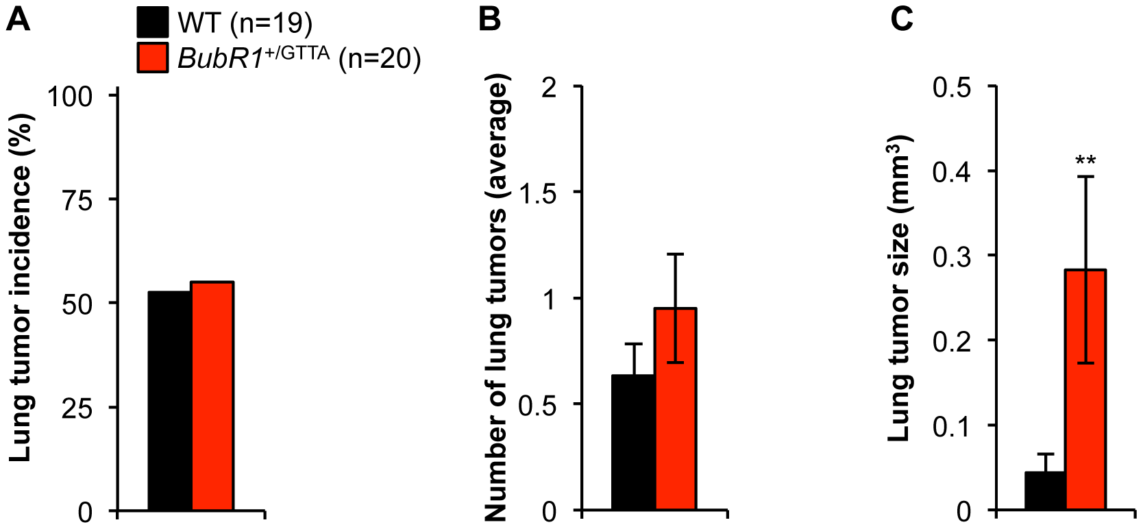 Carcinogen-induced lung tumor size is increased in <i>BubR1</i><sup>+/GTTA</sup> mice.