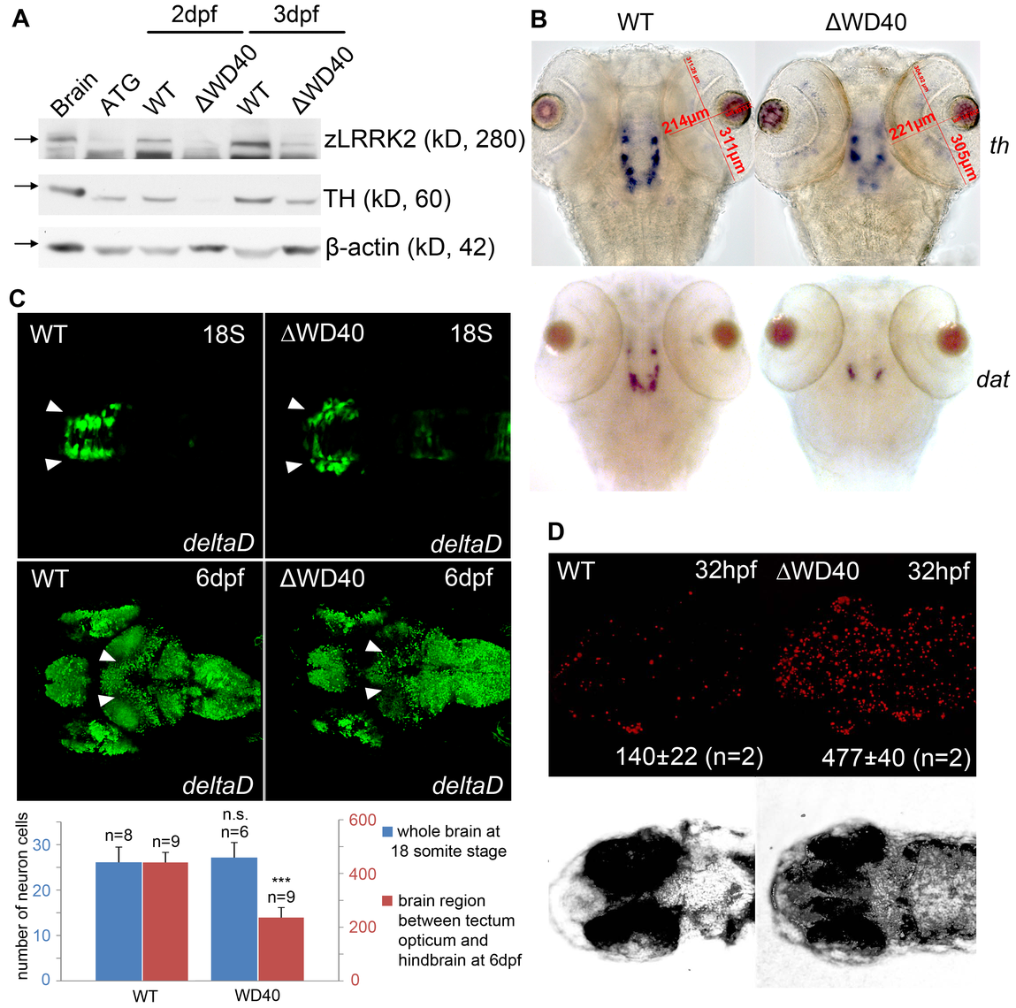 Phenotype of neuronal loss in LRRK2 ΔWD40 morphants.