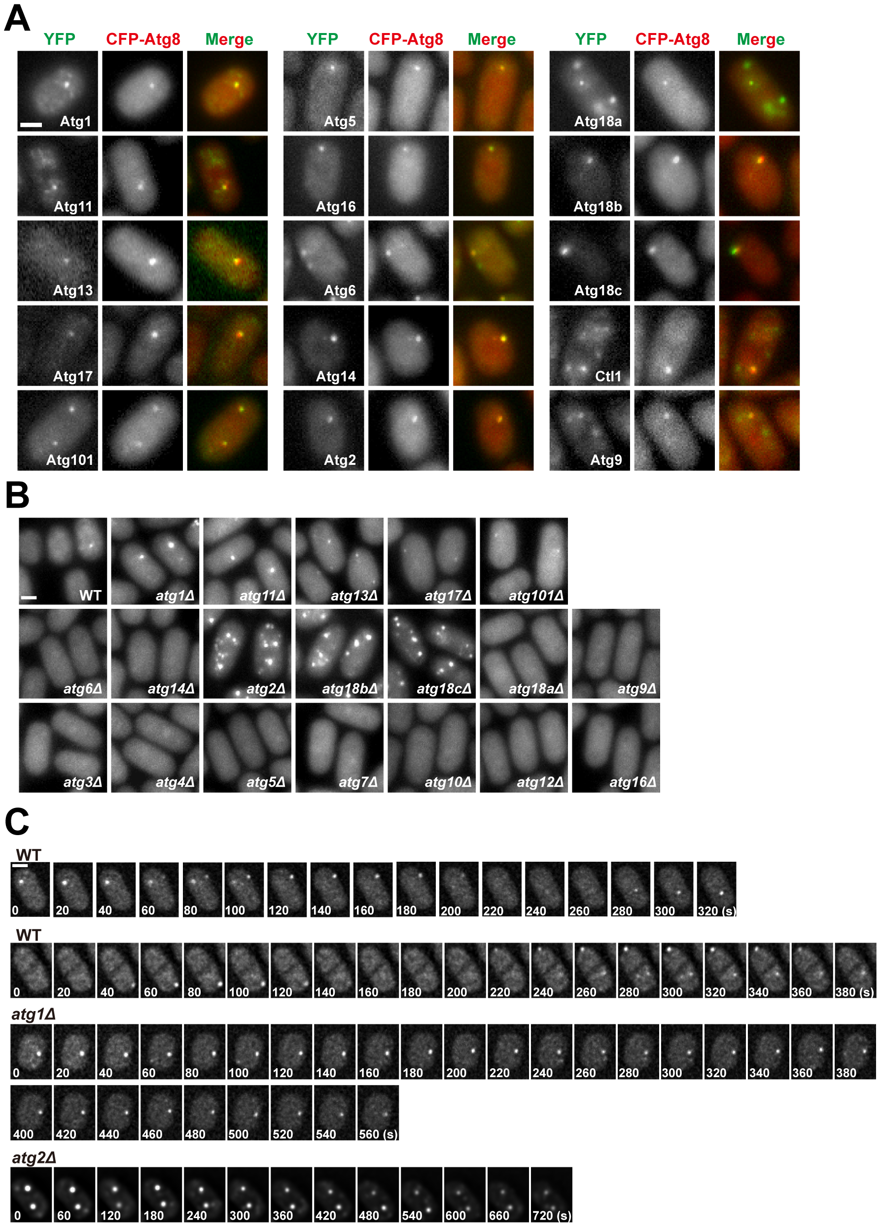 Subcellular localization of fission yeast autophagy factors.