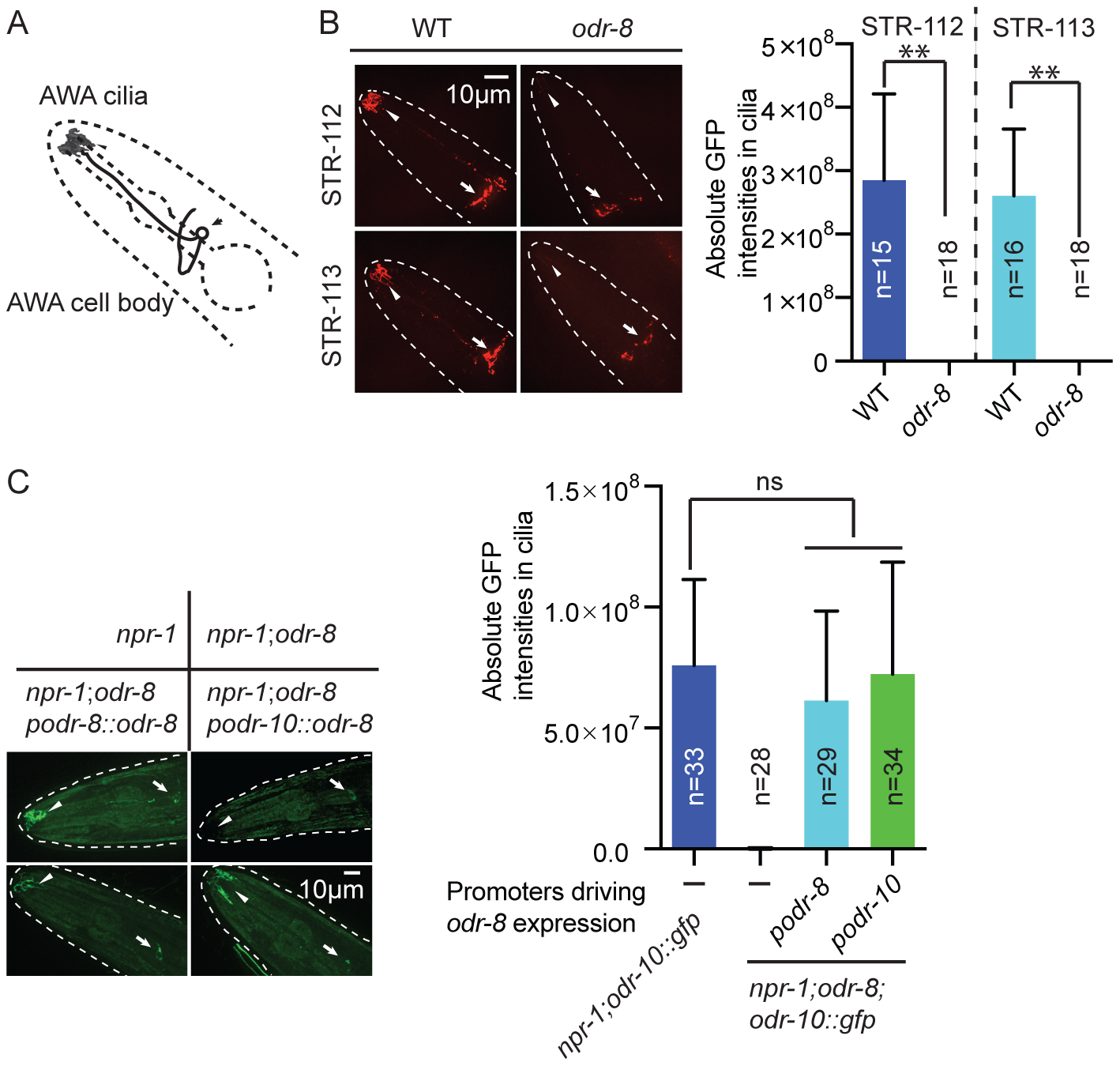 ODR-8 is required for the GPCR trafficking to the AWA cilia.