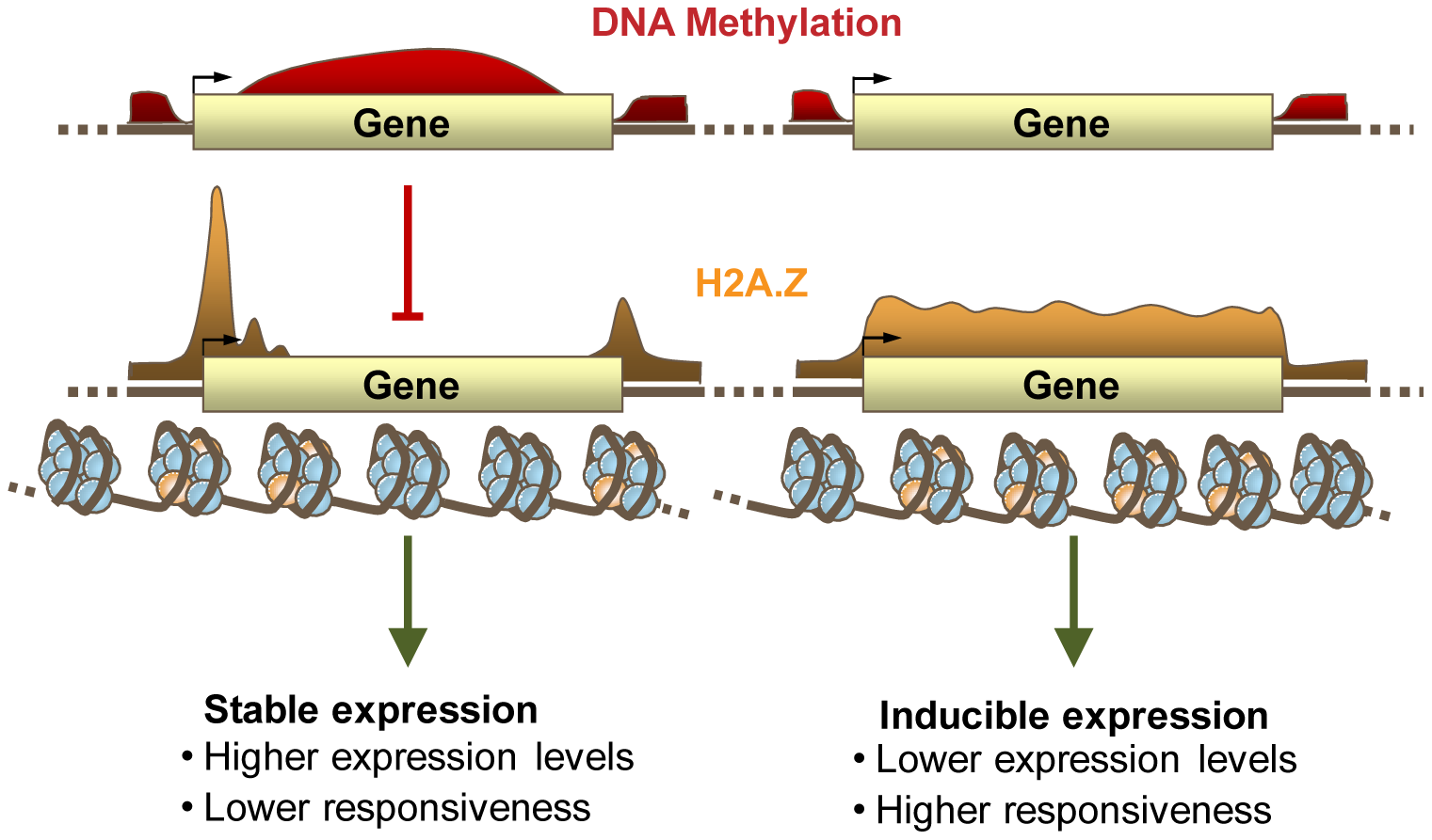 DNA Methylation, H2A.Z, and expression patterning.
