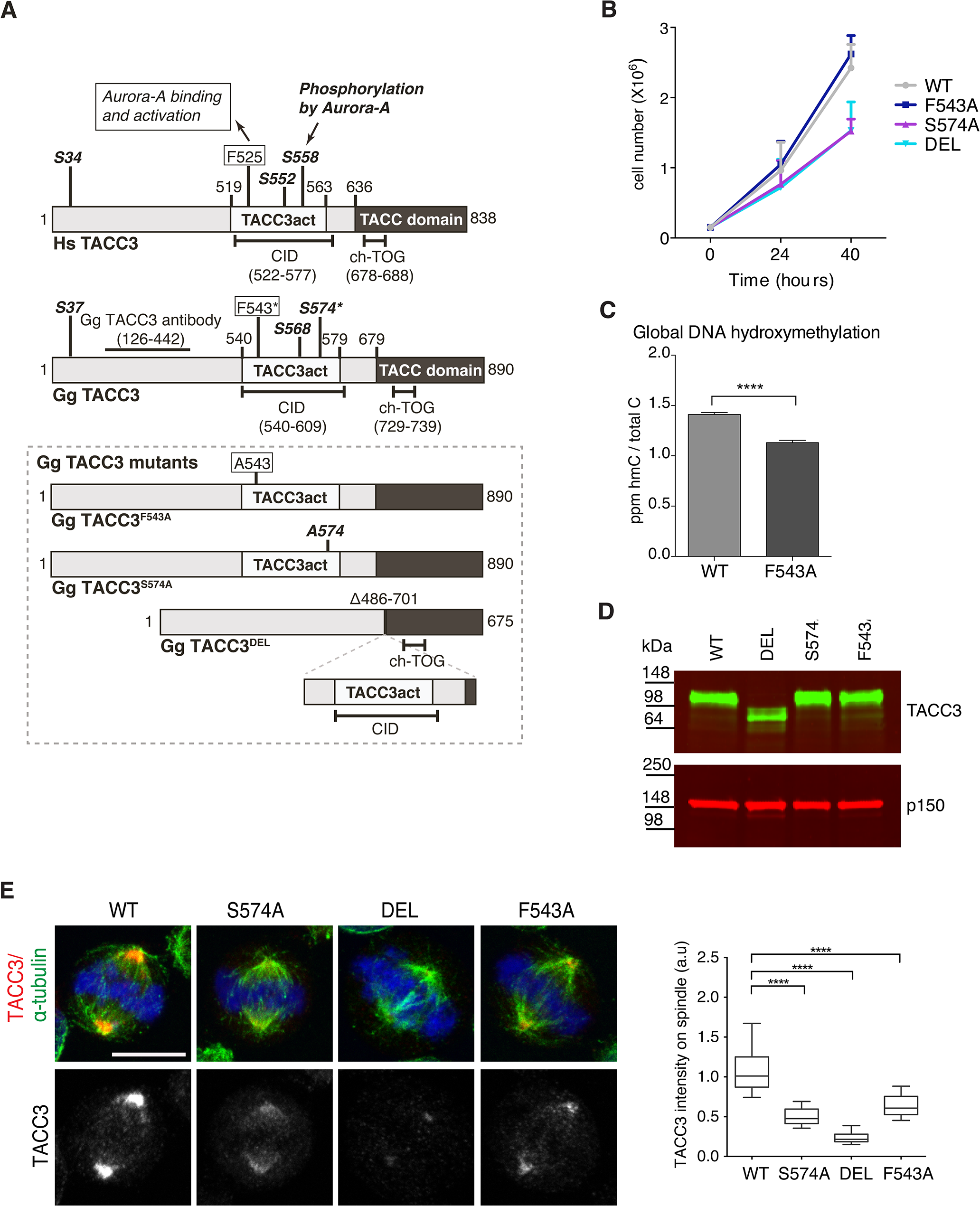 F543 in TACC3 is required for efficient targeting of TACC3 to the mitotic spindle.