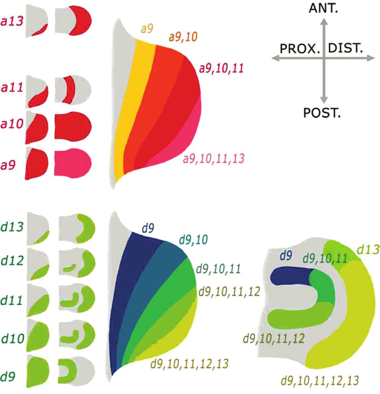 Schéma první a druhé vlny exprese Hoxa9-13 a Hoxd9-13 genů v končetině potkana