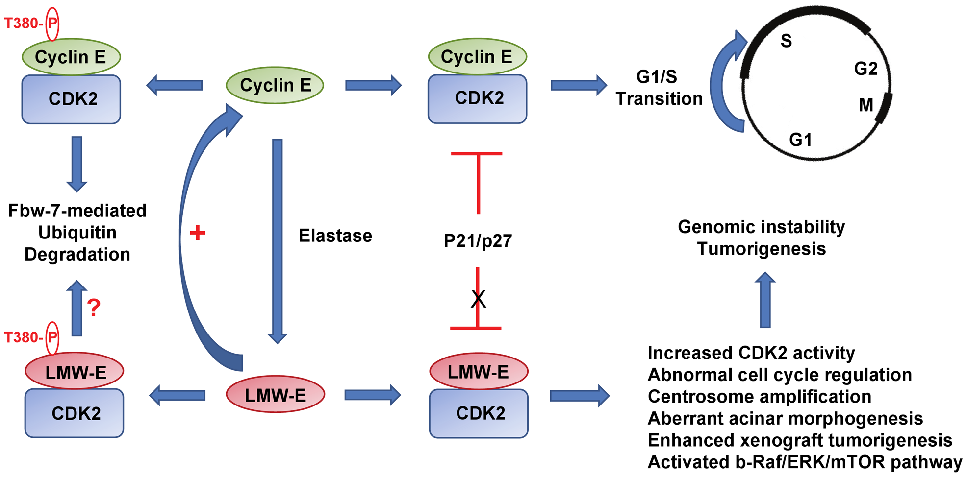 Low molecular weight cyclin E promotes tumorigenesis.