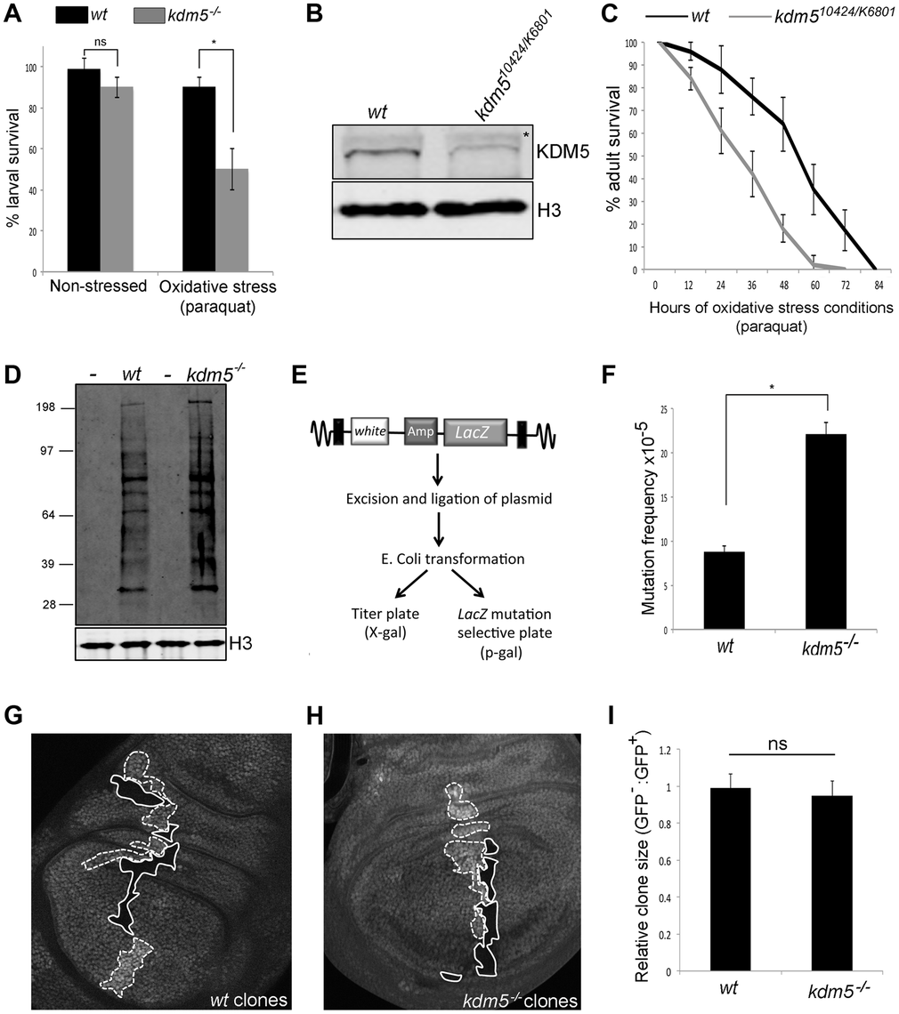 Reducing KDM5 affects cellular levels of oxidative stress.