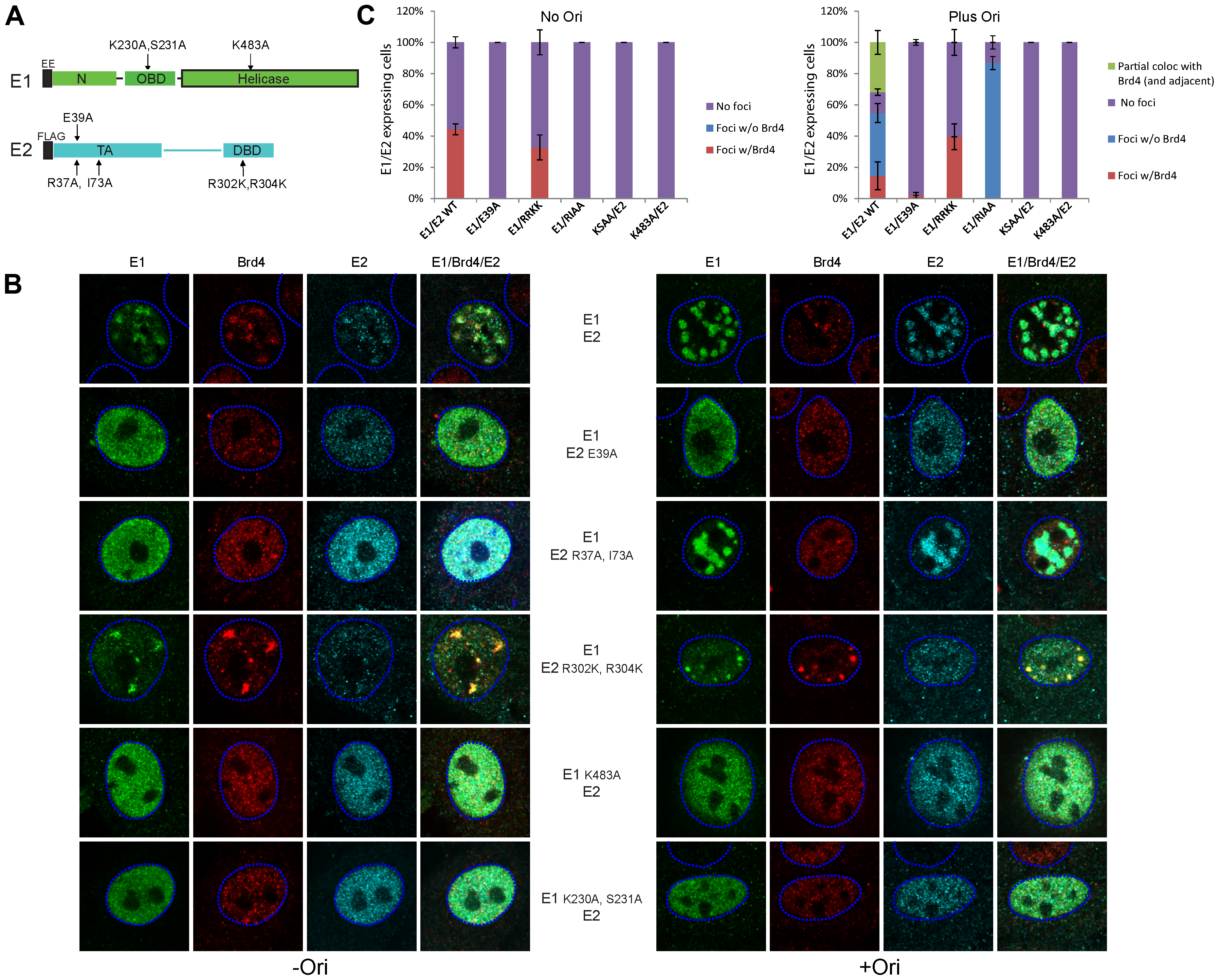 Analysis of the E1–E2 functions required for localization of Brd4 to nuclear E1–E2 foci in the presence and absence of viral origin containing DNA.