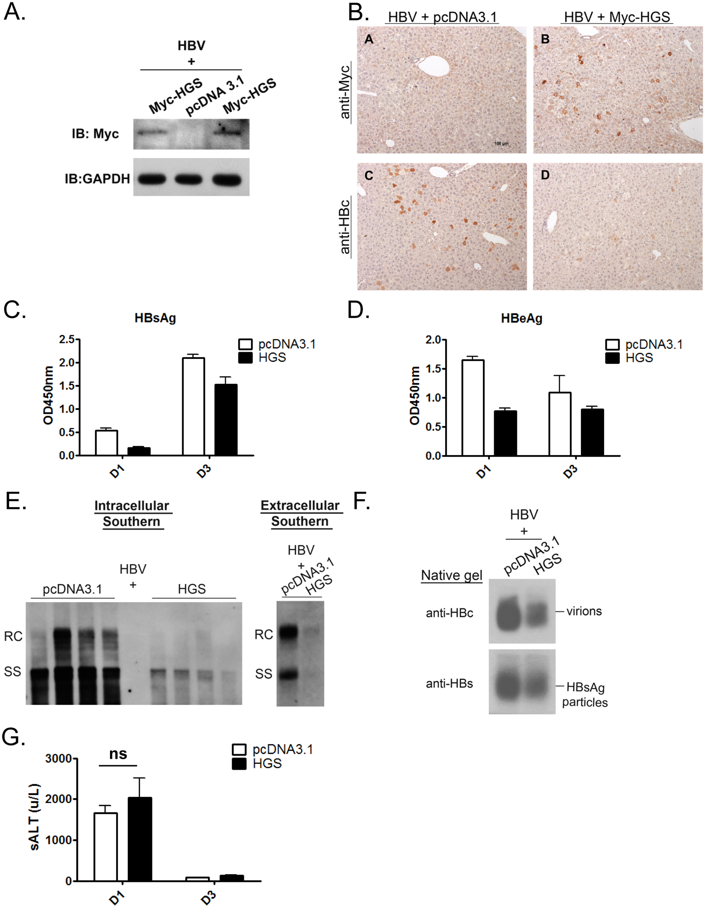 Overexpressed HGS significantly suppressed HBV replication <i>in vivo</i>.