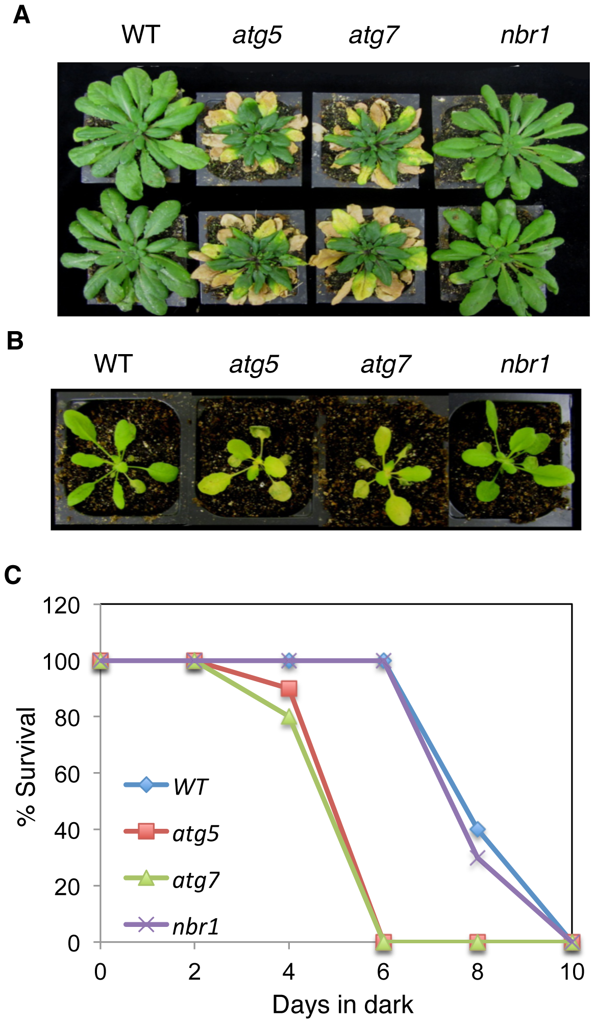Normal phenotypes of the <i>nbr1</i> mutant plants in age- and darkness-induced senescence.