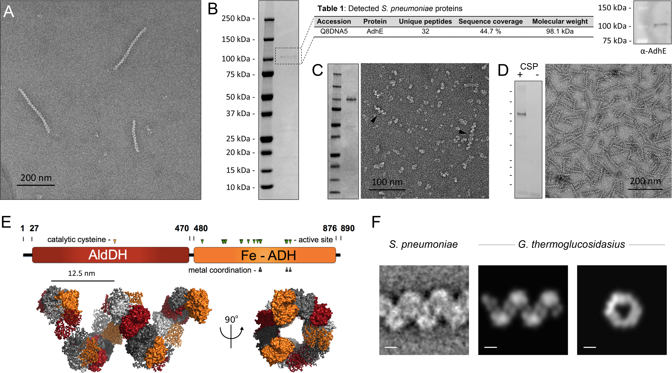 Identification of the 'plaited' filaments as AdhE spirosomes.