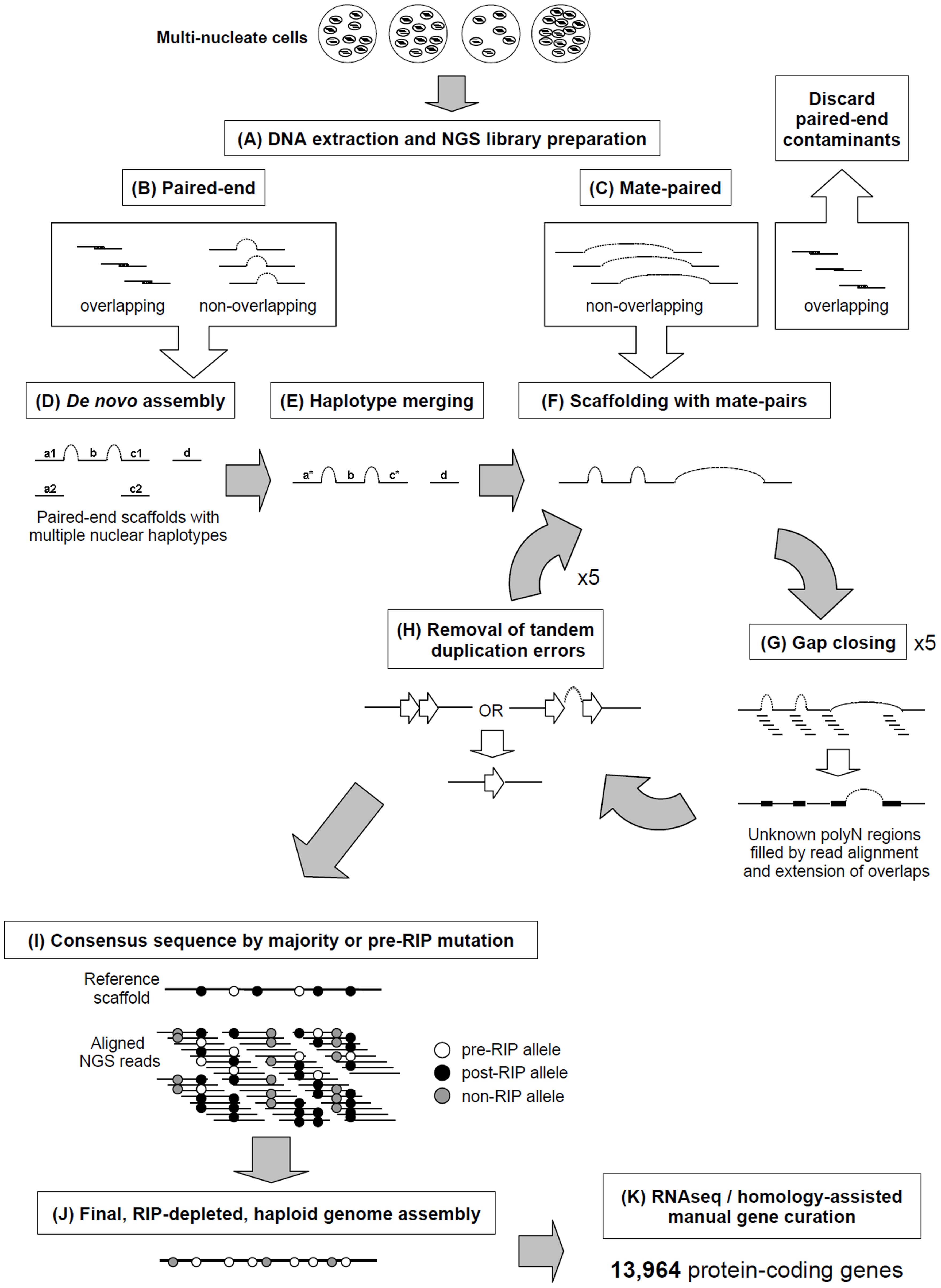 A novel pipeline was employed to assemble the multinucleate, heterozygous genome of <i>Rhizoctonia solani</i> AG8.