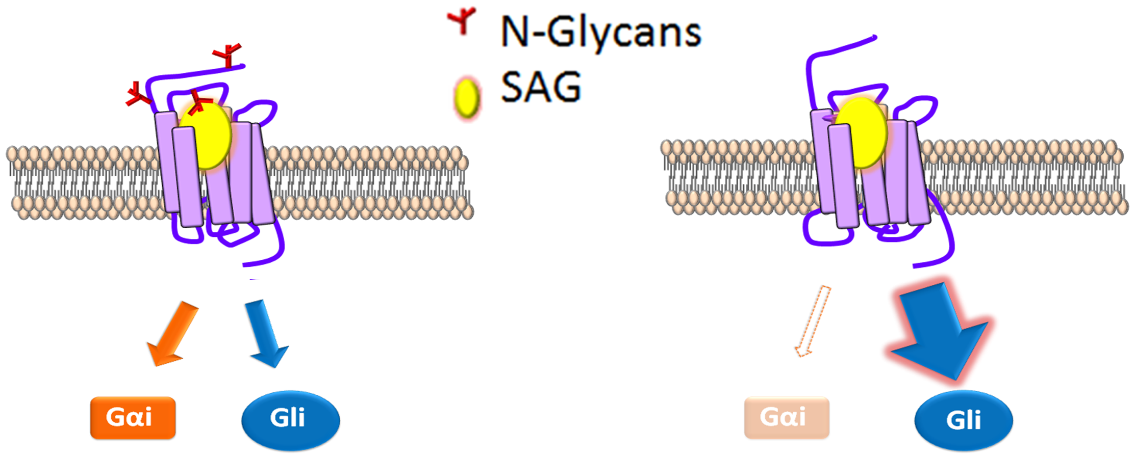 N-glycosylation status correlates with signal bias.
