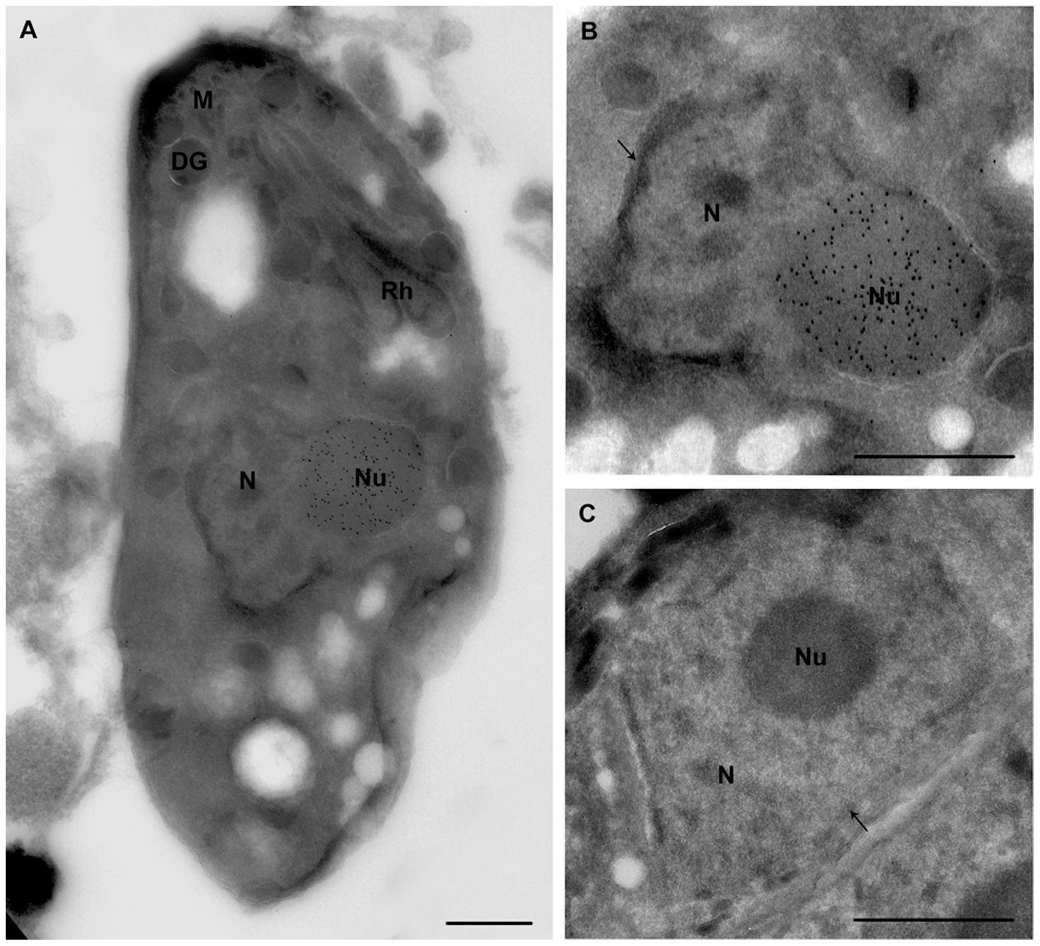 Ultrastructural analyses show that ectopic expression of TgNF3-YFP enhanced considerably nucleolar size.
