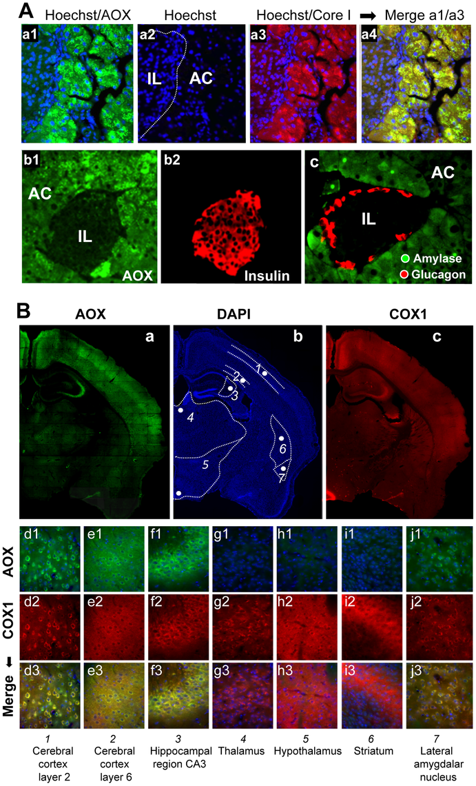 AOX expression territories in the pancreas and brain of the MitAOX mouse.