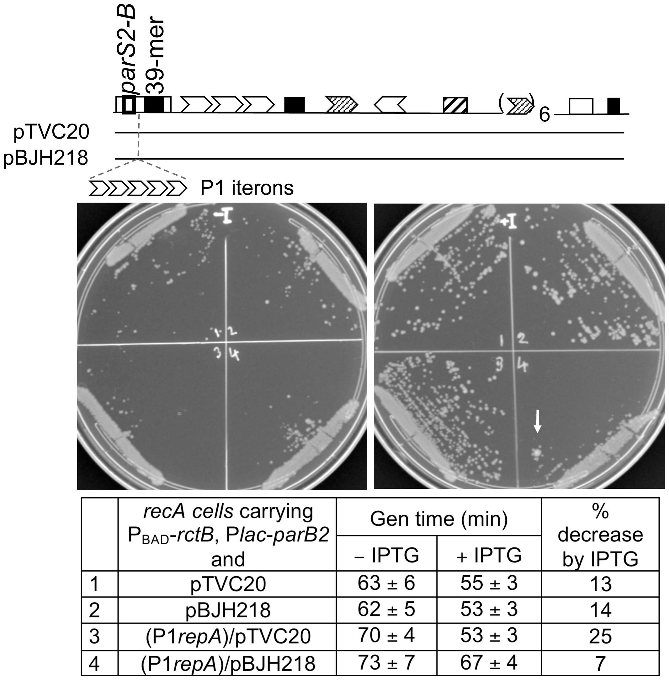 Effect of a roadblock on ParB2-mediated stimulation of <i>oriII</i> activity in <b><i>E. coli</i></b>.