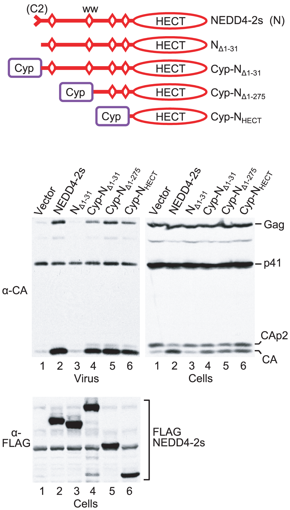 The isolated HECT domain of NEDD4-2s rescues HIV-1<sub>ΔPTAPP</sub> when targeted to Gag.