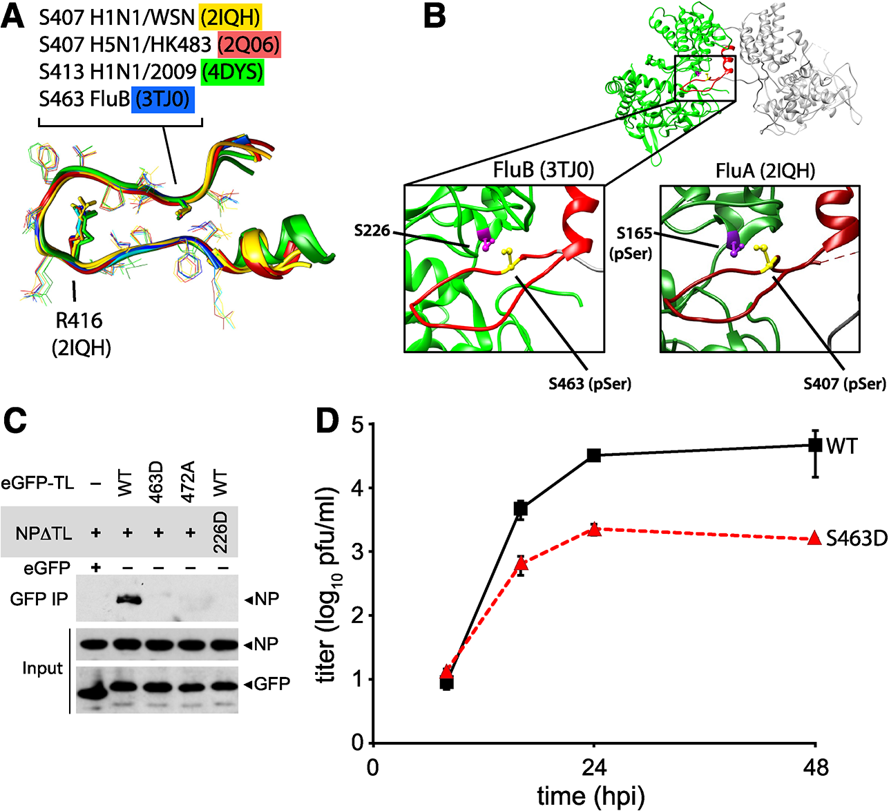 Phosphomimetic mutations in influenza B NP disrupt tail loop-binding groove interaction and attenuate virus replication.