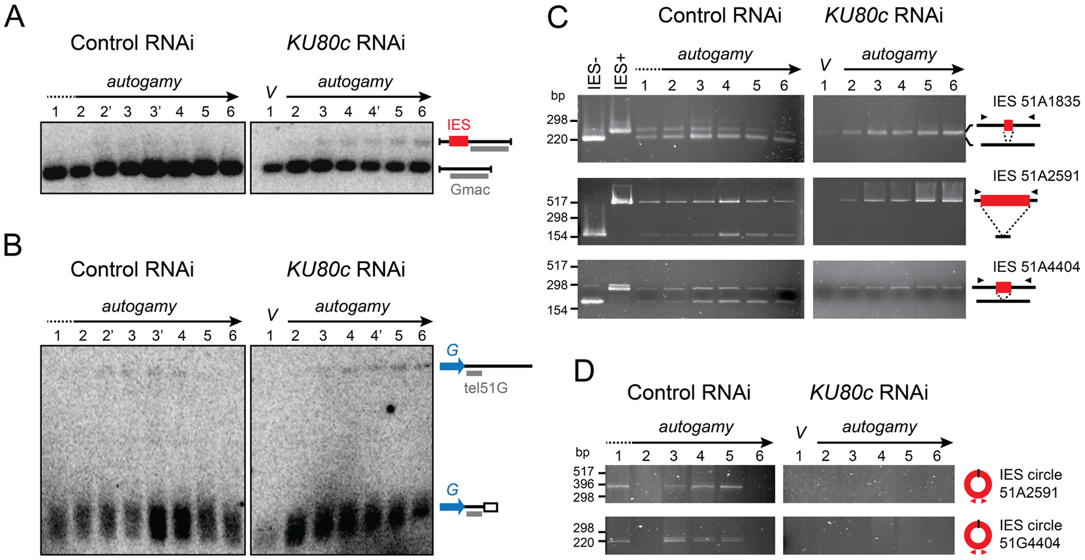 Molecular analysis of genome rearrangements after Ku80c depletion.