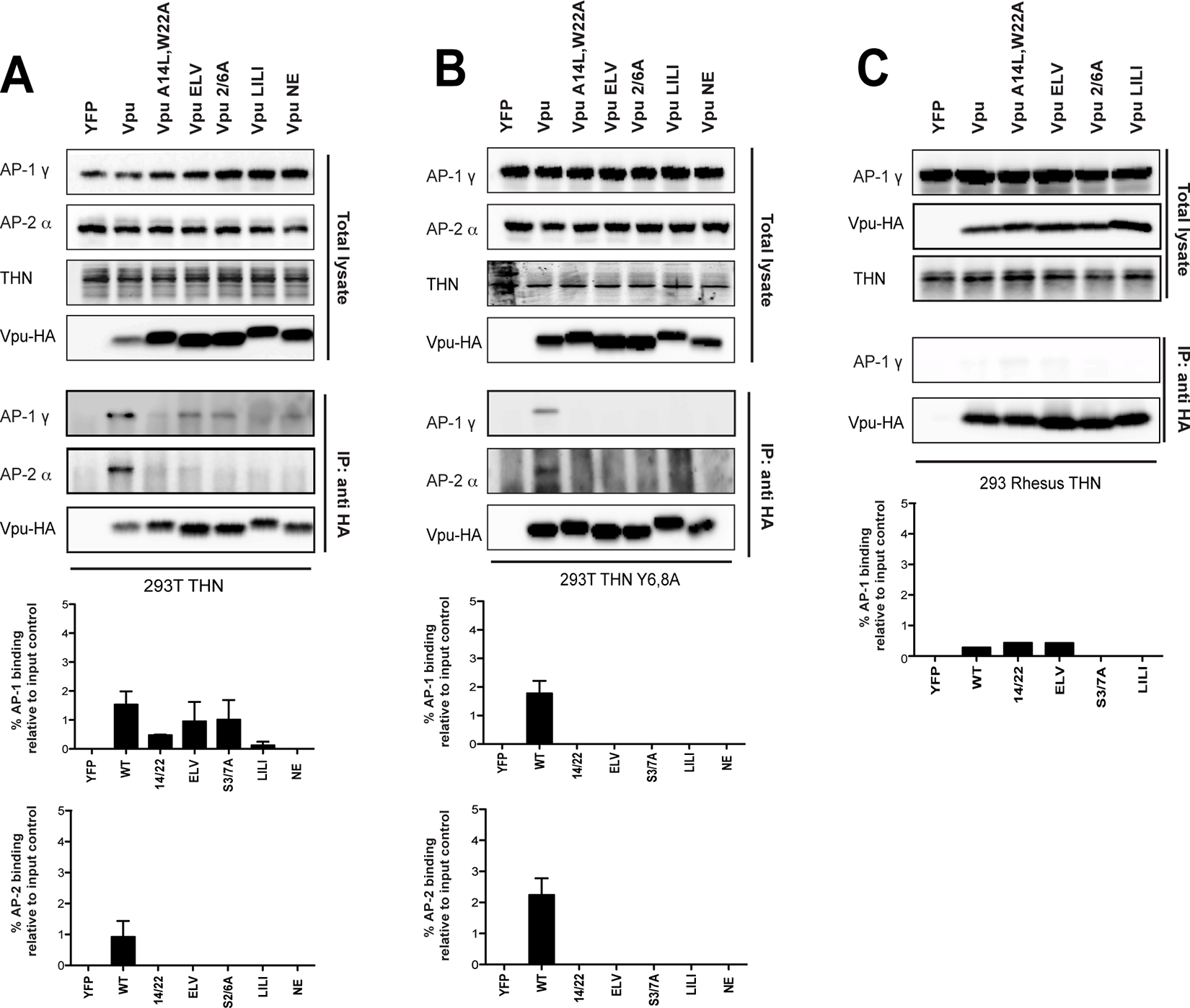Vpu interacts with clathrin adaptors AP-1 and AP-2 in tetherin-expressing cells.