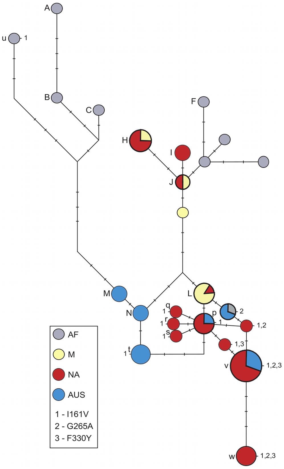 Haplotype network at <i>Ace</i>.