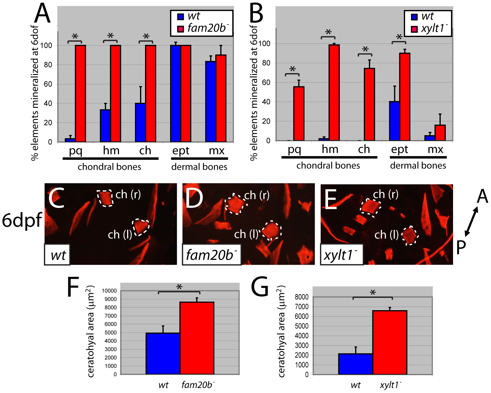 <i>fam20b</i> and <i>xylt1</i> mutants have increased perichondral bone.