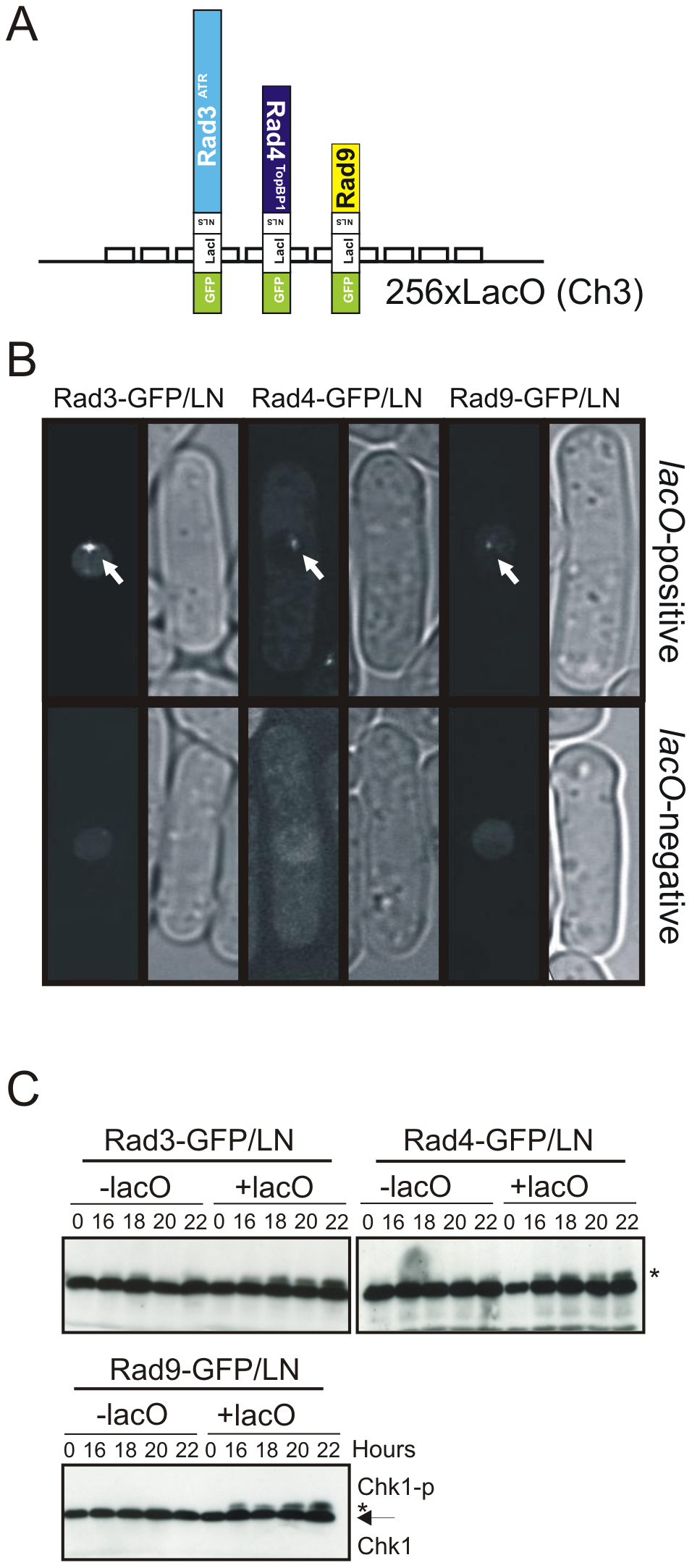 Checkpoint protein recruitment to chromatin causes checkpoint activation.
