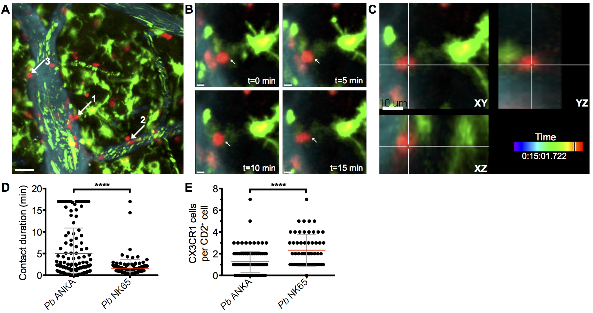 Perivascular T cells form long-lasting interactions with CX<sub>3</sub>CR1<sup>+/GFP</sup> in the brains of mice infected with <i>Pb</i> ANKA.