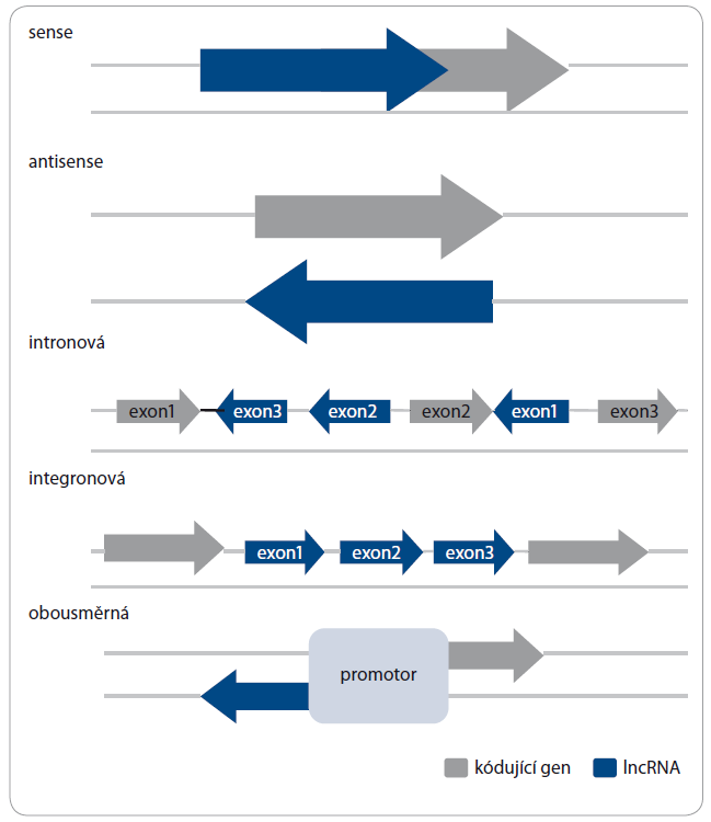 Typy molekul lncRNA podle lokalizace genů v genomu.