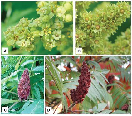 A – morfologická stavba samčího květu: odkvétající méně kompaktní samčí květenství s viditelnými tyčinkami, B – morfologická stavba samičího květu: kompaktnější samičí květenství se zřetelným narůžovělým nektariovým diskem na bázi pestíku. Morfologická stavba plodenství: hustá palicovitá plodenství tvořená kulatými ochlupenými peckovicemi. C – zrající plodenství (červenec), D – zralé plodenství (říjen), které na rostlině vytrvává celou zimu (foto autoři)