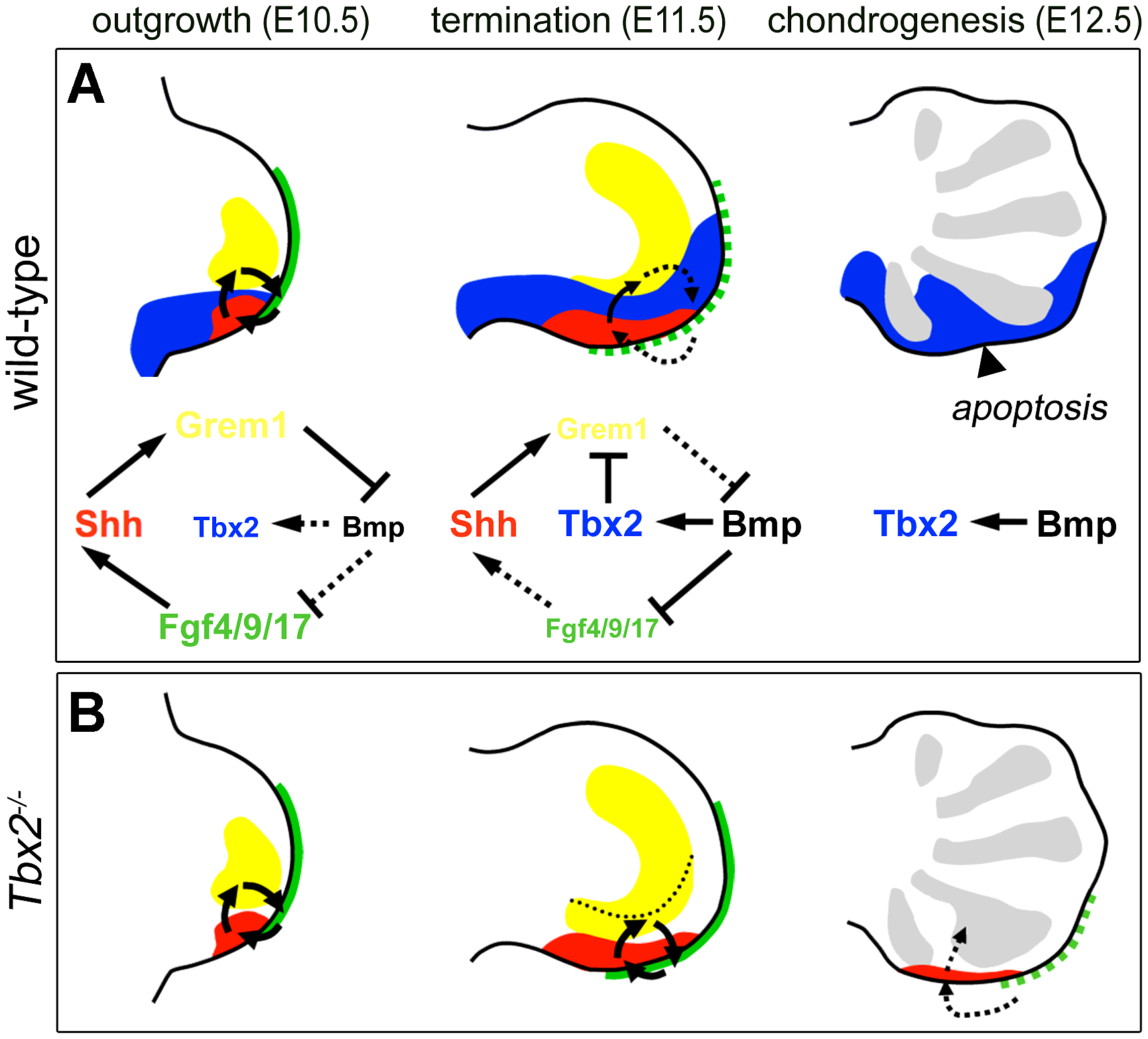 Model of Tbx2 function in the posterior hindlimb mesenchyme.