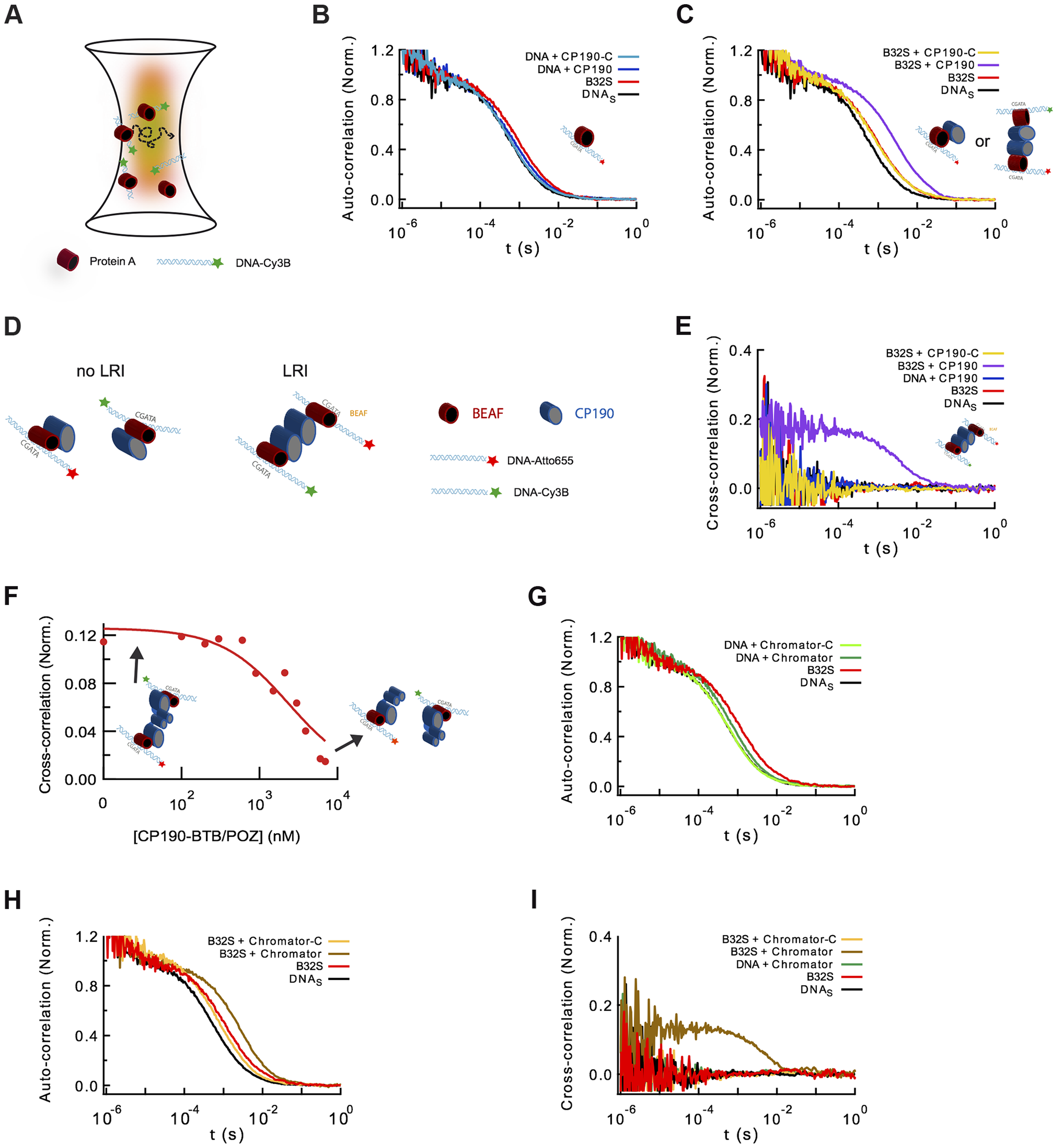 Formation of long-range interactions by insulator proteins.