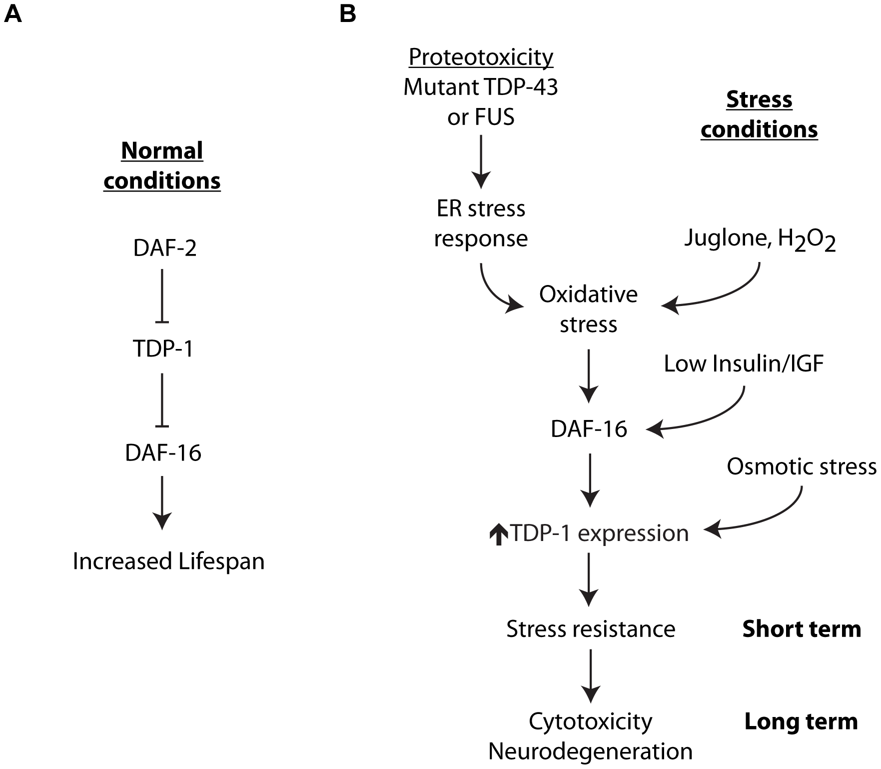 Integrated model for stress-induced TDP-1 expression.