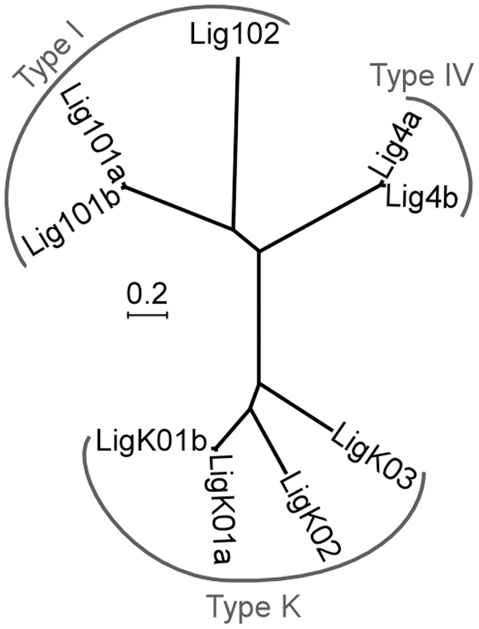 Neighbor-joining tree of <i>P. tetraurelia</i> ATP-dependent DNA ligases.