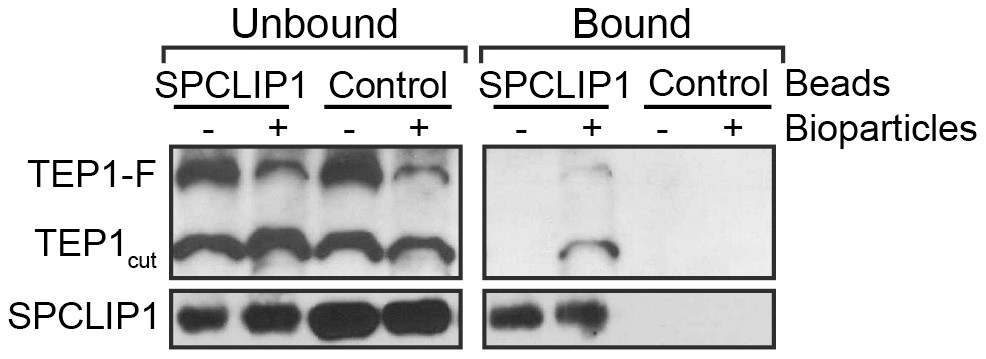 SPCLIP1 and TEP1 interact after challenge with <i>E.</i> <i>coli</i> bioparticles.