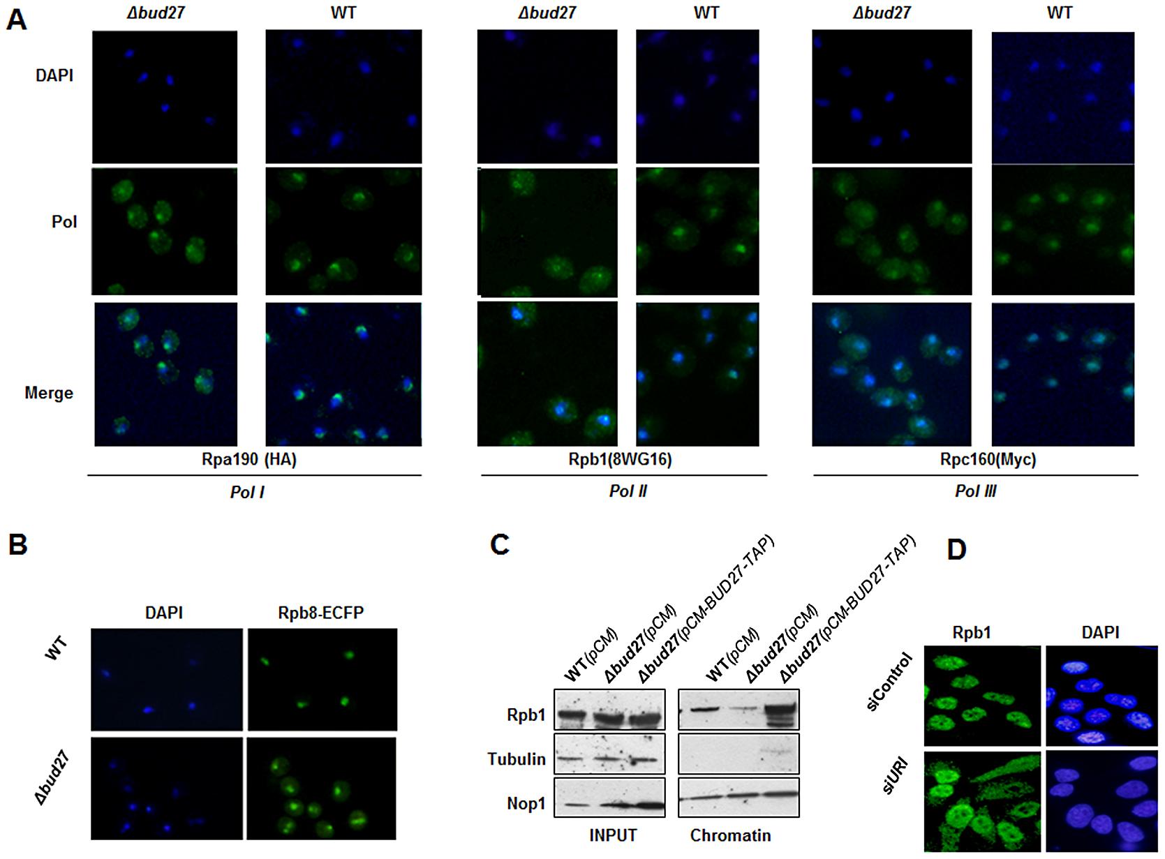 Lack of Bud27 led to RNA pol I, II, and III cytoplasmic accumulation.