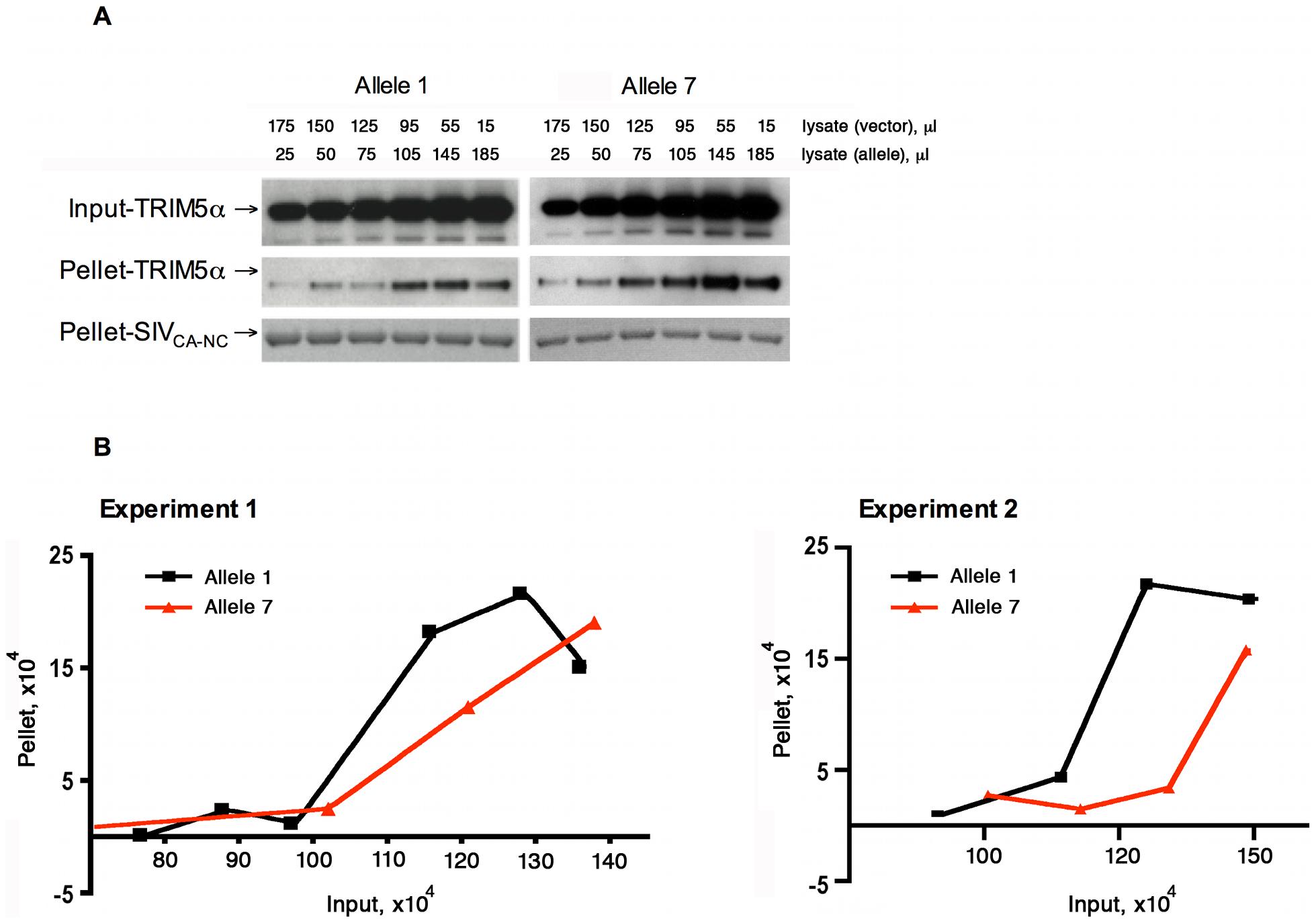 Effect of TRIM5α variation on SIVmac239 capsid binding.