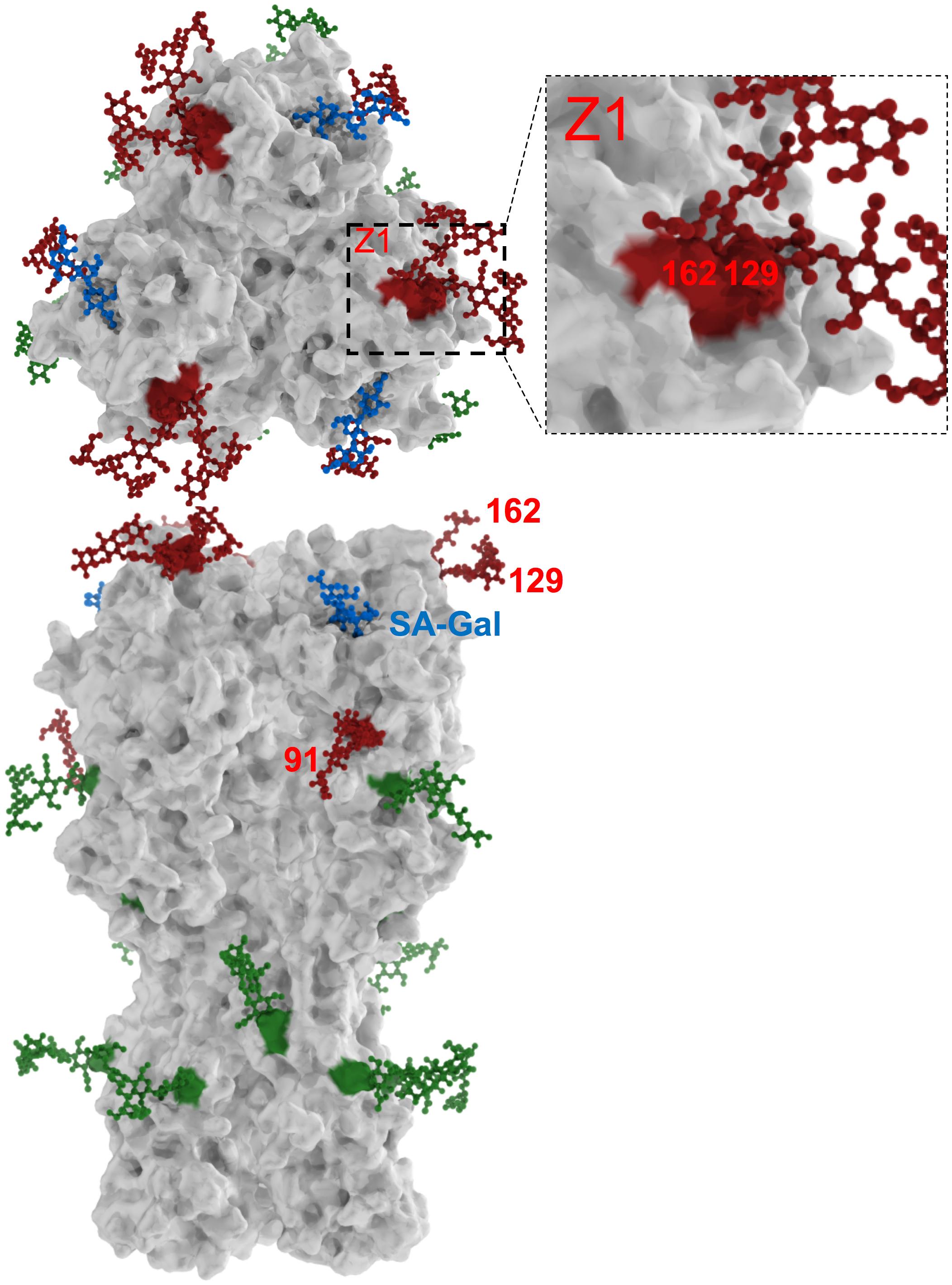 H1N1 HA glycosylation sites.