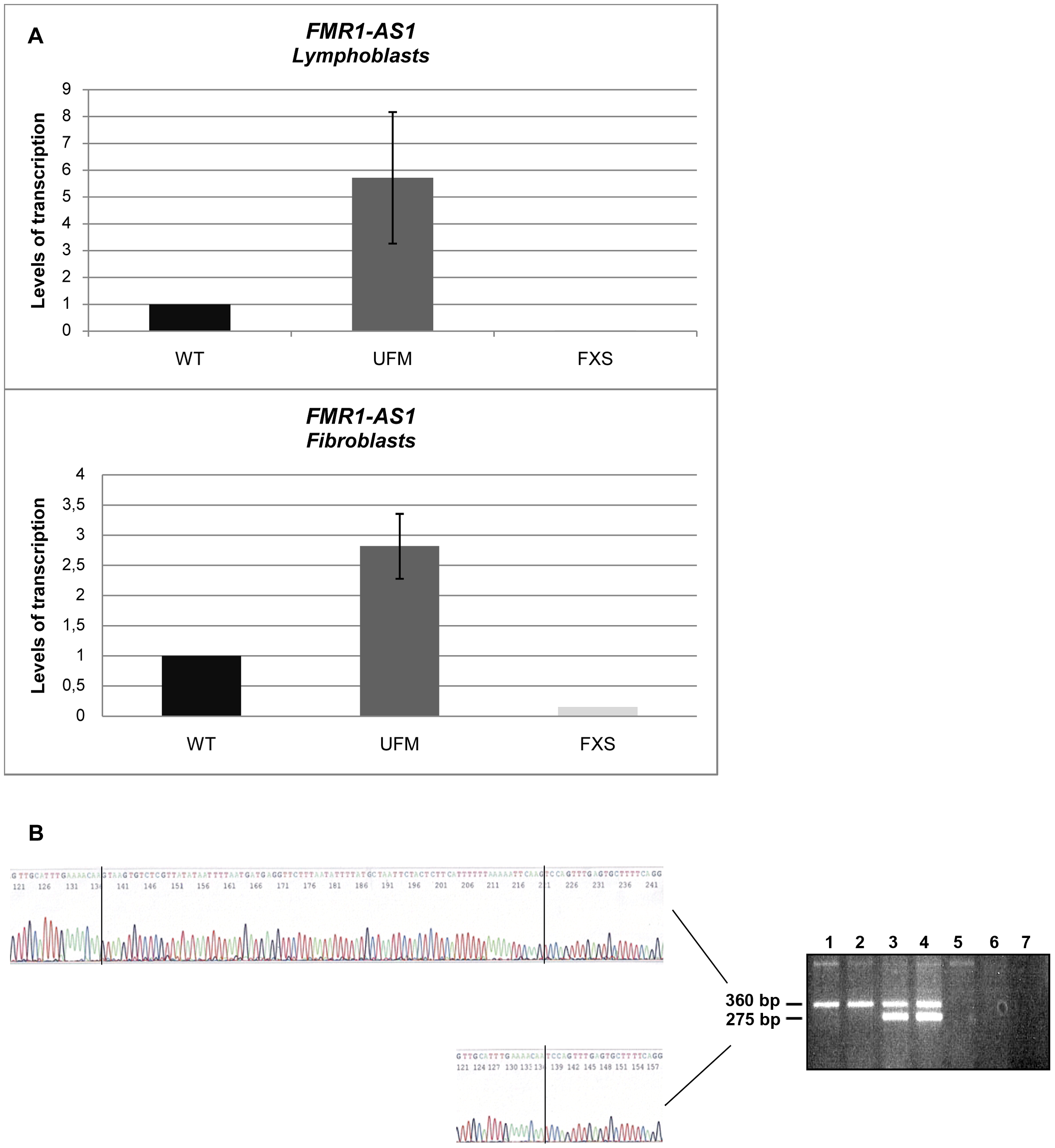 Characterization of <i>FMR1-AS1</i> transcript in UFM cell lines.