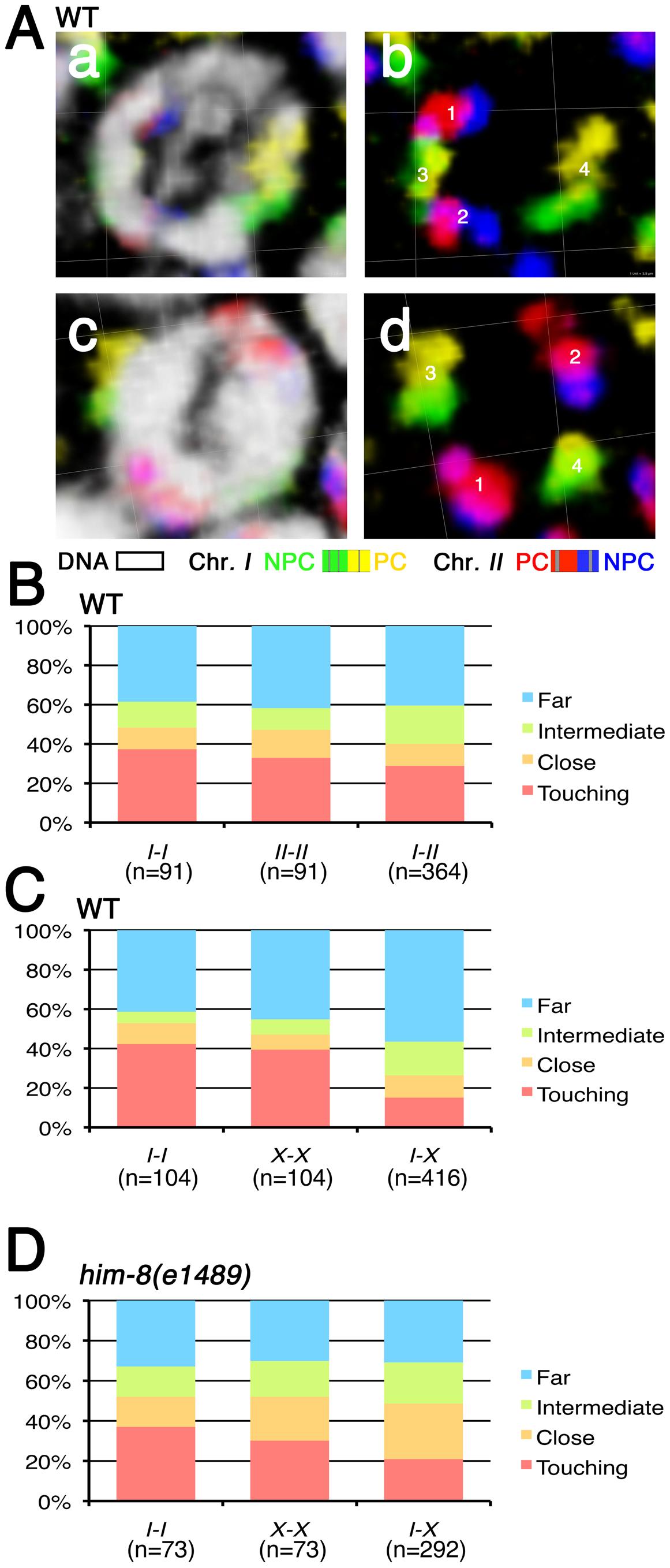 Spatial organization of premeiotic chromosome territories.
