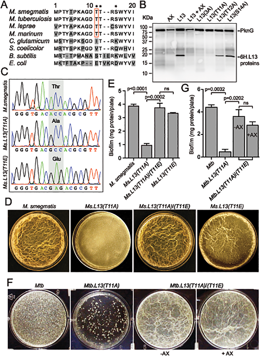 PknG-catalyzed phosphorylation of L13 at a mycobacterial specific site, T11, is required for mycobacterial biofilm growth.