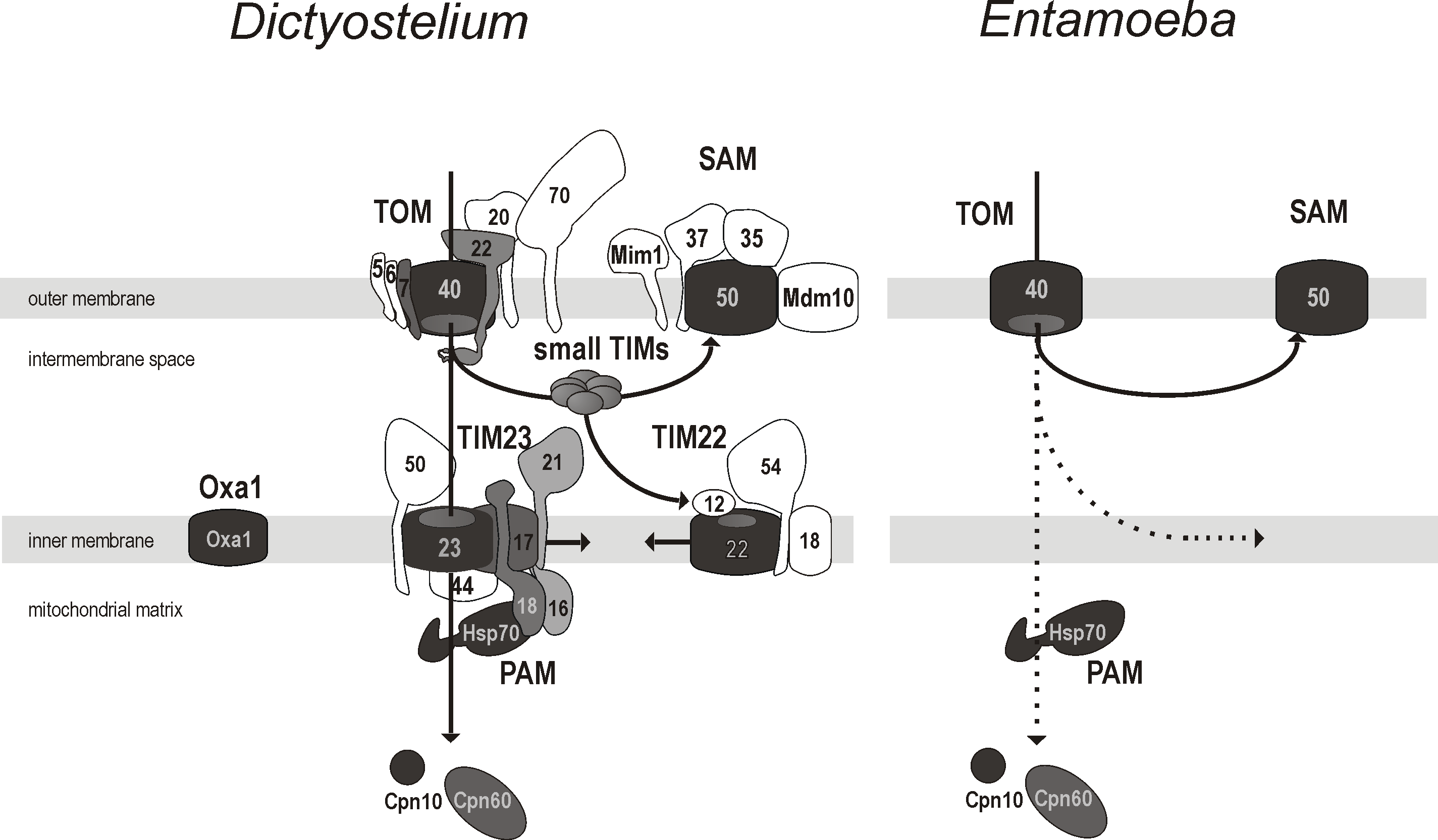 The minimalism of the protein import and assembly pathways in the mitosomes of <i>E. histolytica.</i>
