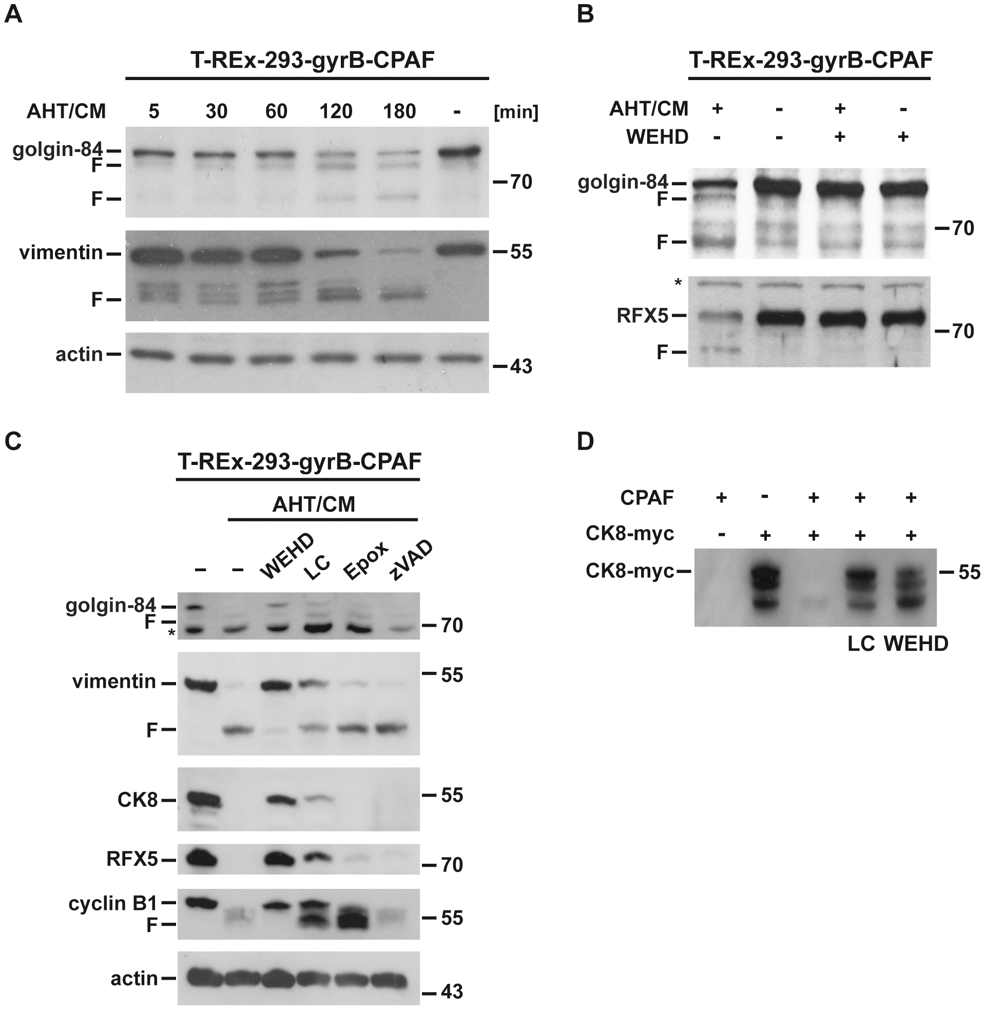 WEHD-fmk is an inhibitor of CPAF-dependent proteolysis.