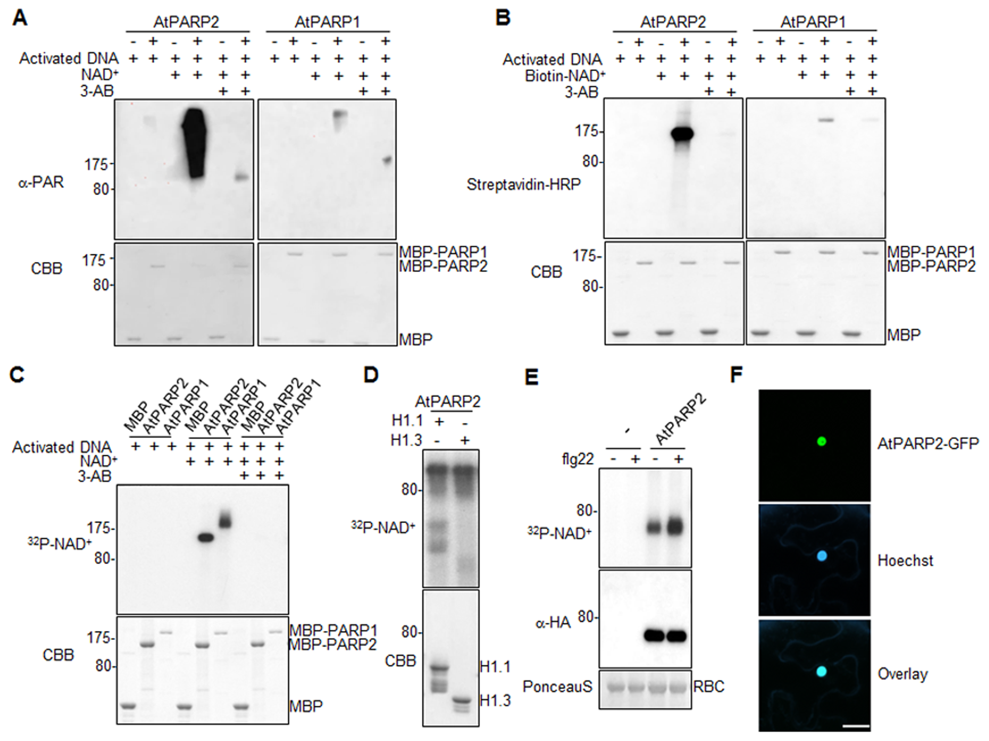 <i>Arabidopsis</i> AtPARP1 and AtPARP2 are functional poly(ADP-ribose) polymerases.