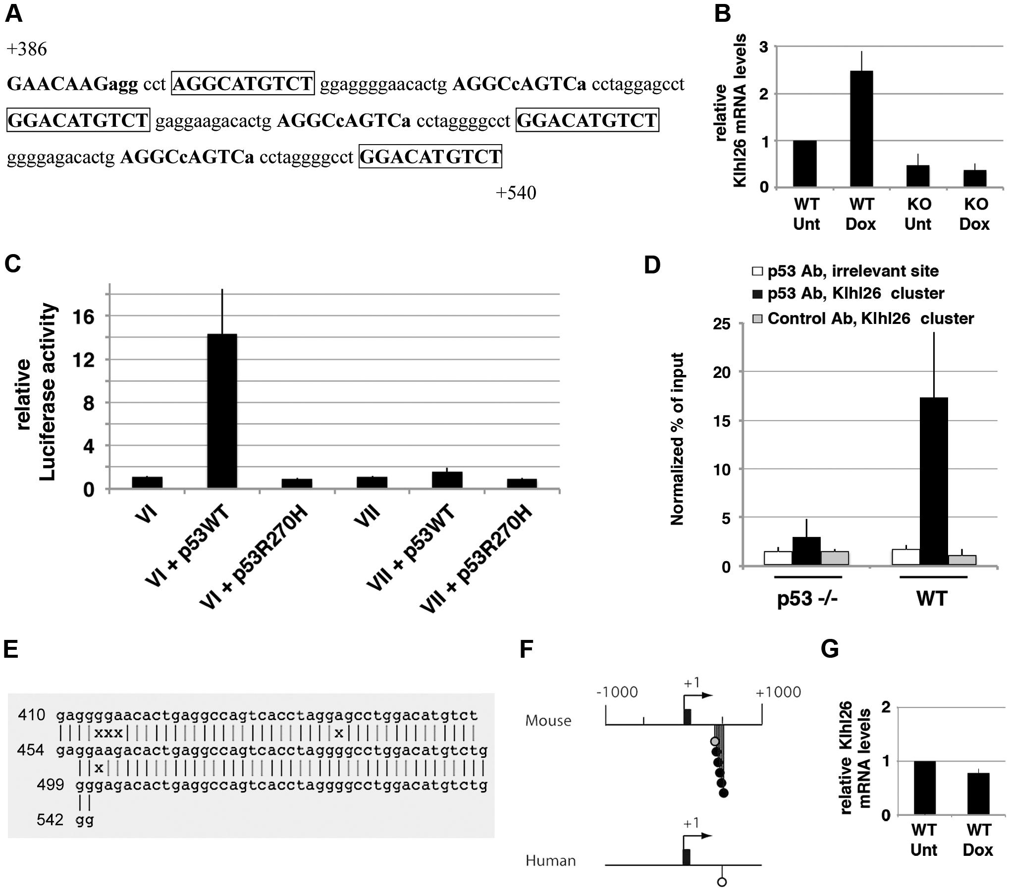 p53 transactivates murine <i>Klhl26</i> via a cluster of p53 half-sites.